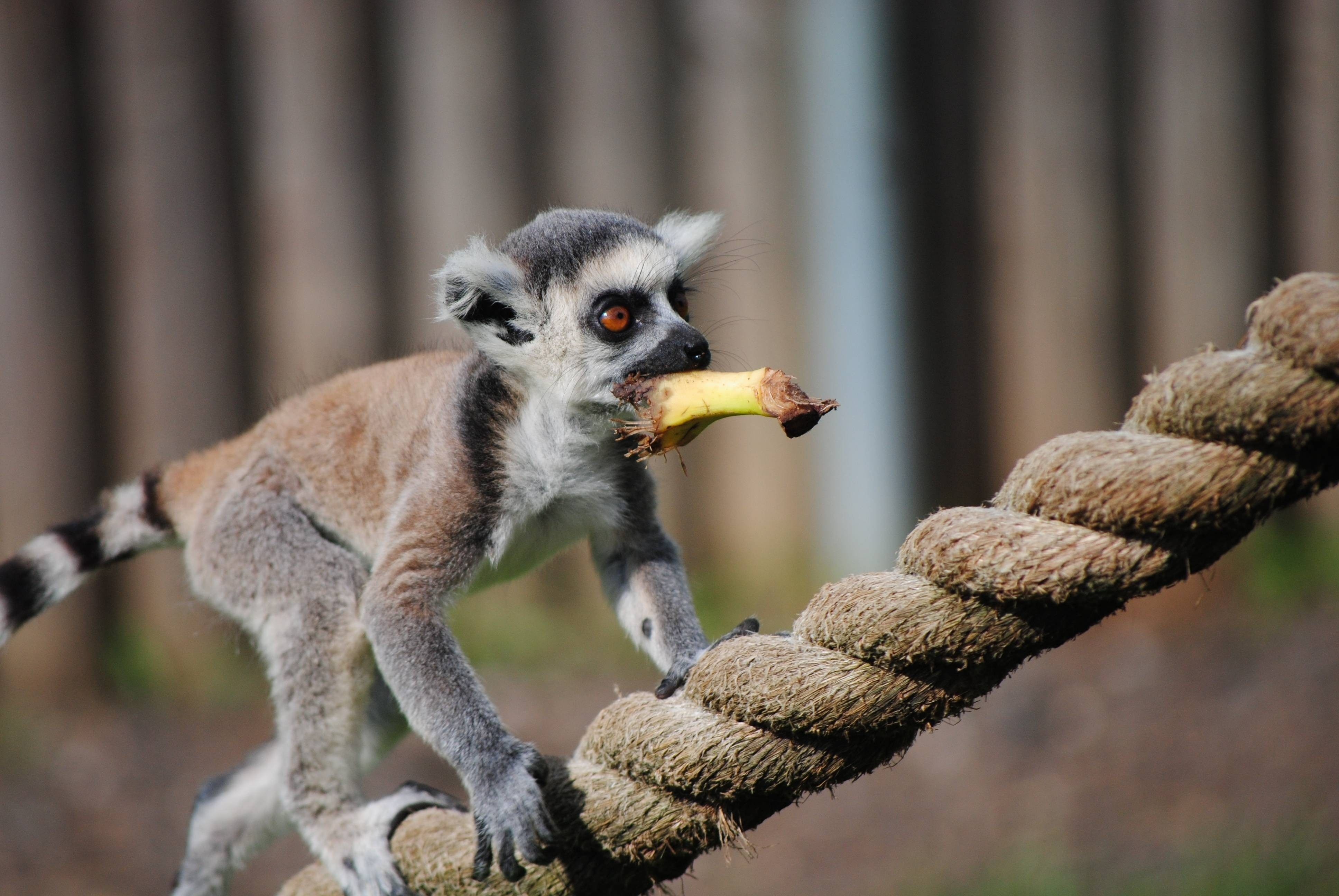 107114 download wallpaper Animals, Lemur, Rope, Cable, Stroll, Animal, Food screensavers and pictures for free