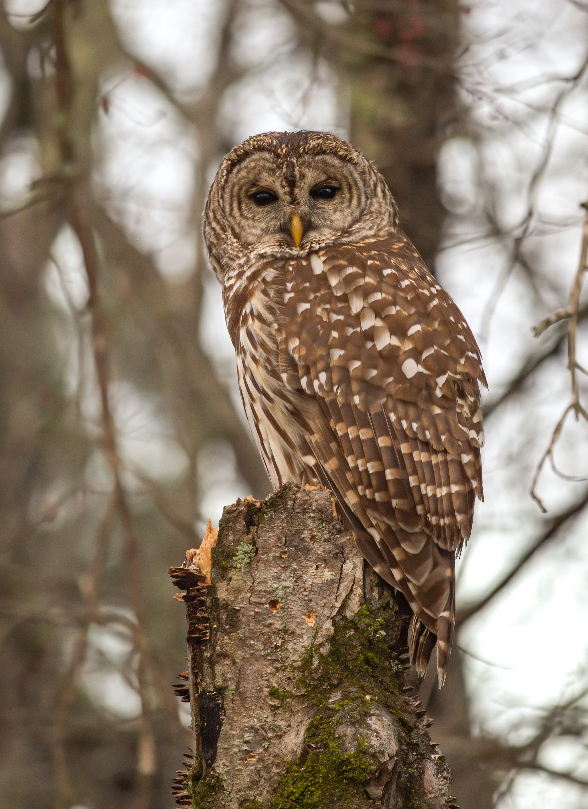 78362 download wallpaper Animals, Tawny Owl, Owl, Bird, Wood, Tree, Feather screensavers and pictures for free