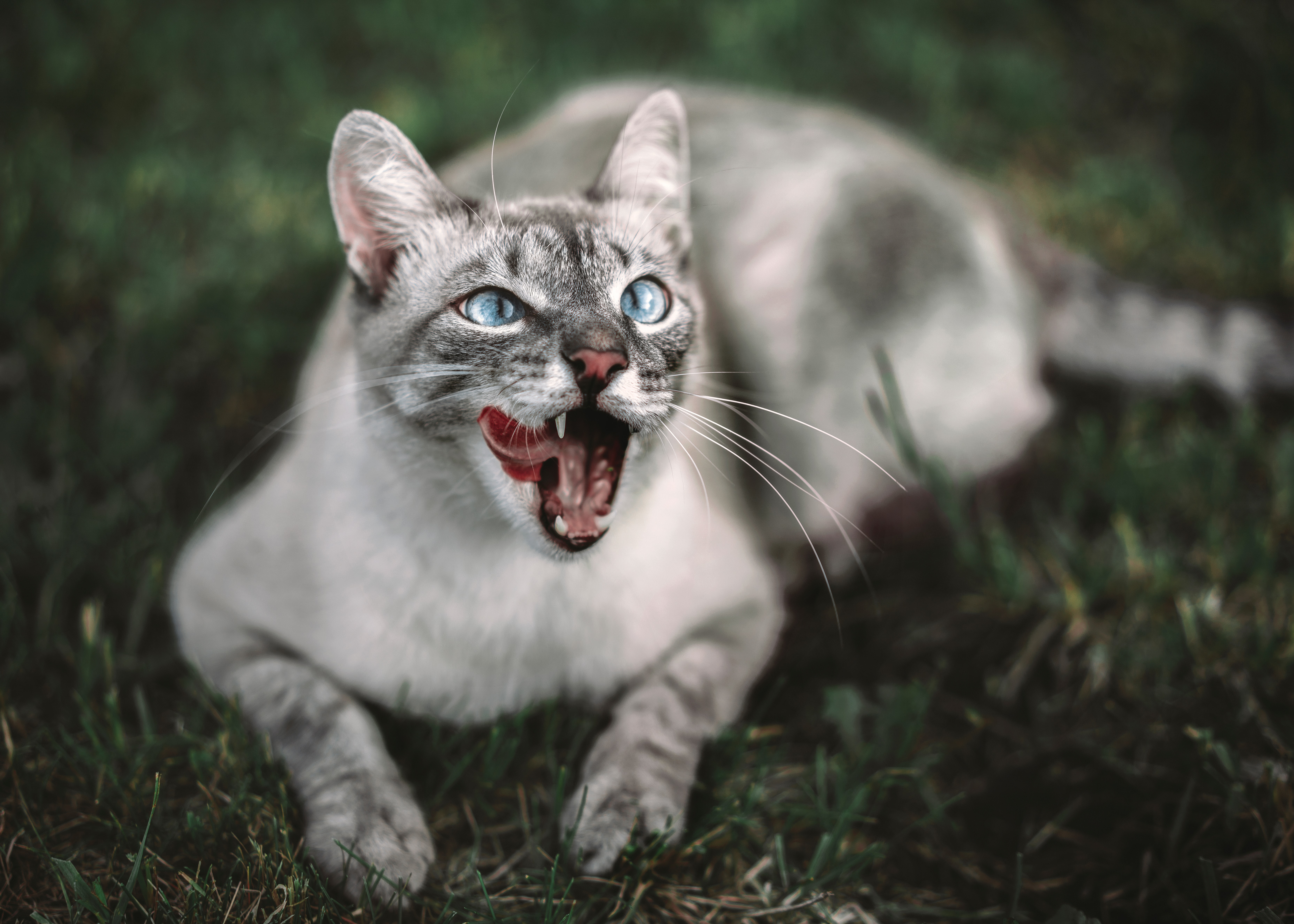 102024 Screensavers and Wallpapers Protruding Tongue for phone. Download Animals, Cat, Protruding Tongue, Tongue Stuck Out, Muzzle pictures for free