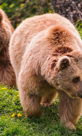 40188 baixar papel de parede Animais, Bears - protetores de tela e imagens gratuitamente