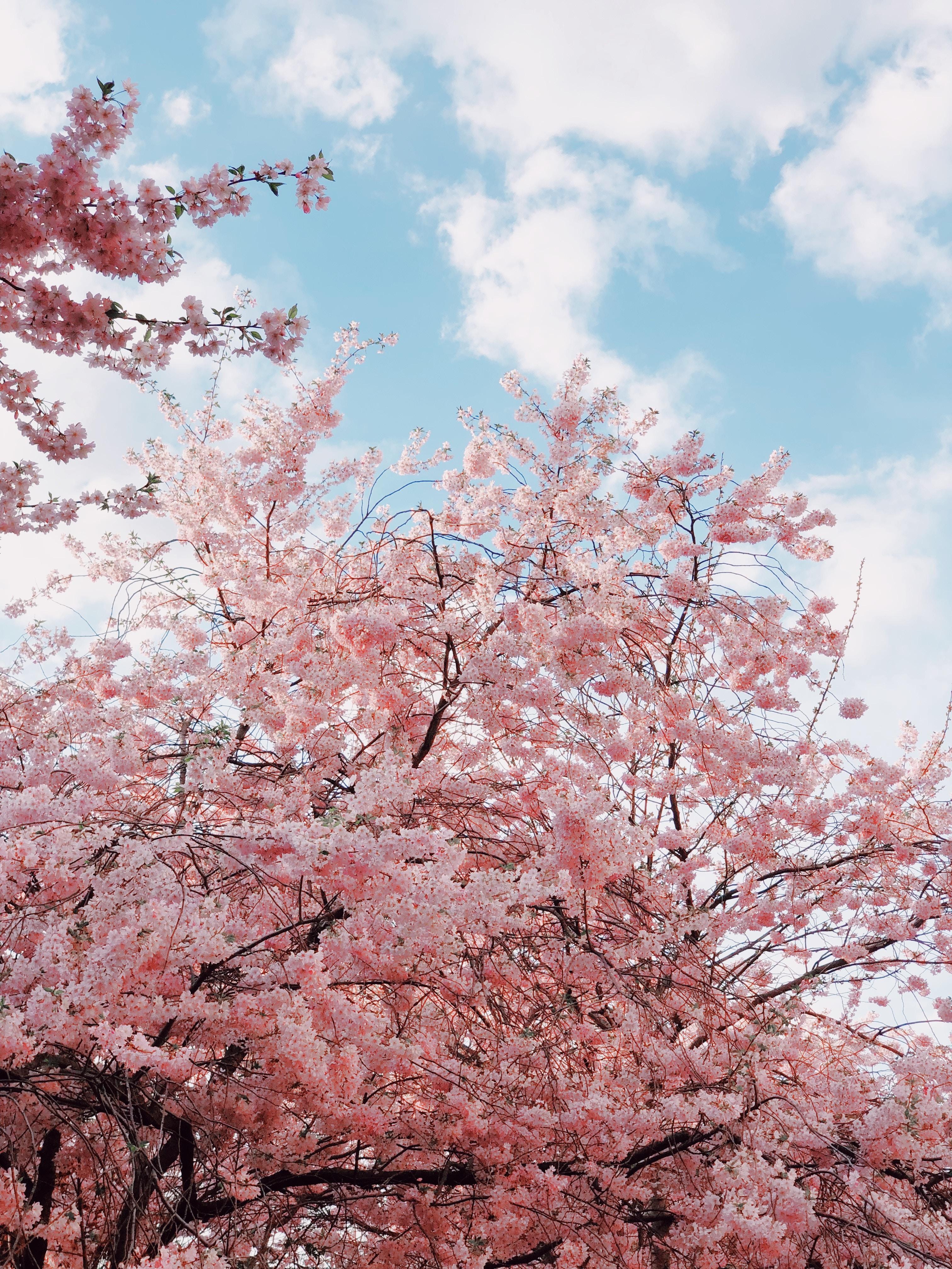 62796 Заставки и Обои Вишня на телефон. Скачать Цветы, Небо, Вишня, Ветки, Цветение, Весна картинки бесплатно