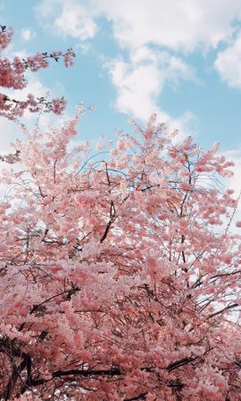 62796 скачать обои Цветы, Вишня, Цветение, Весна, Ветки, Небо - заставки и картинки бесплатно