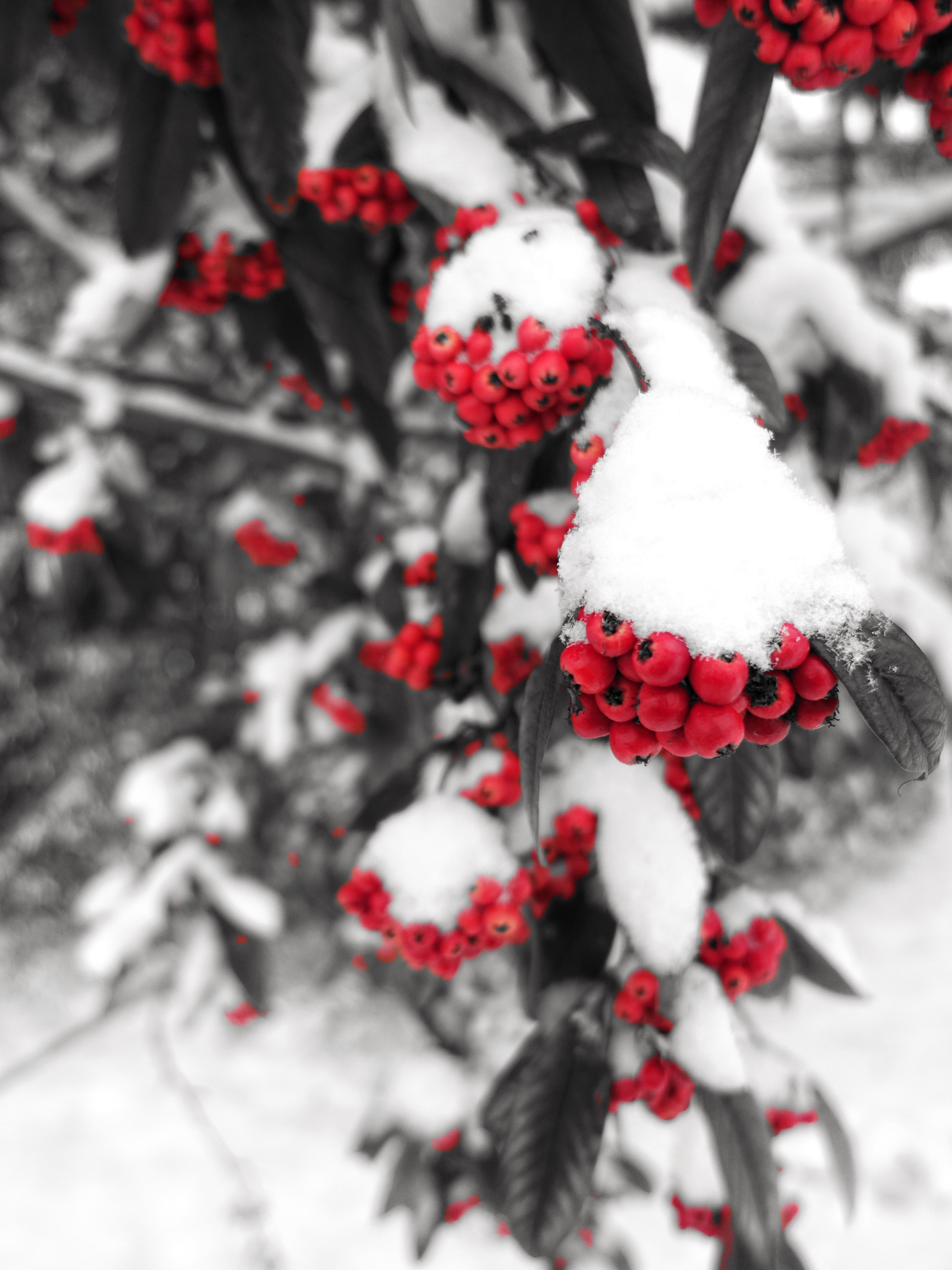 89119 скачать обои Рябина, Зима, Природа, Снег, Ягоды, Ветка - заставки и картинки бесплатно
