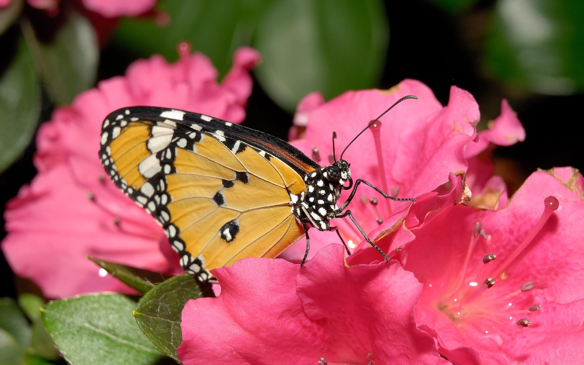 7995 скачать обои Бабочки, Насекомые - заставки и картинки бесплатно