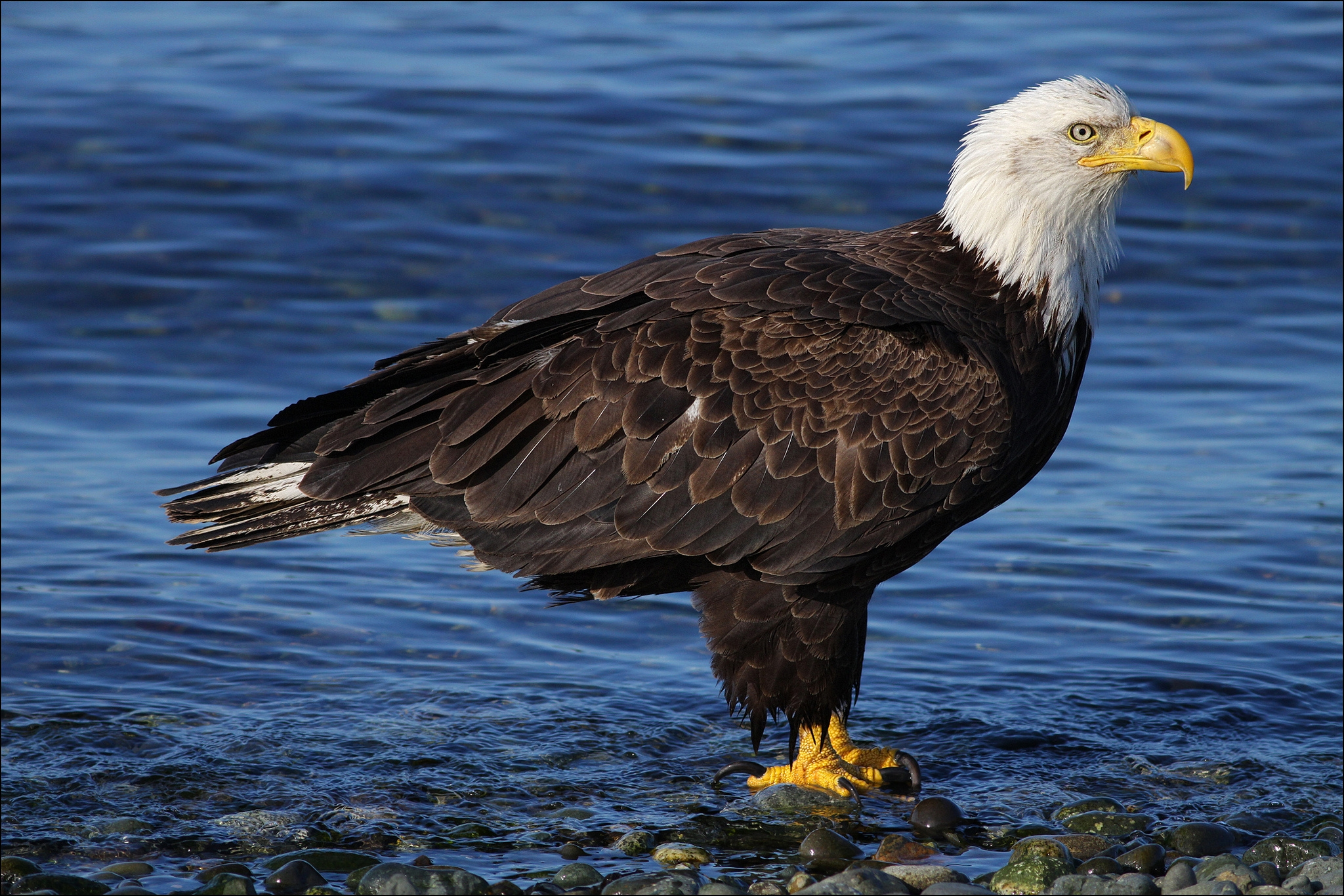 61497 download wallpaper Animals, Bald Eagle, White-Headed Eagle, Stones, Water screensavers and pictures for free