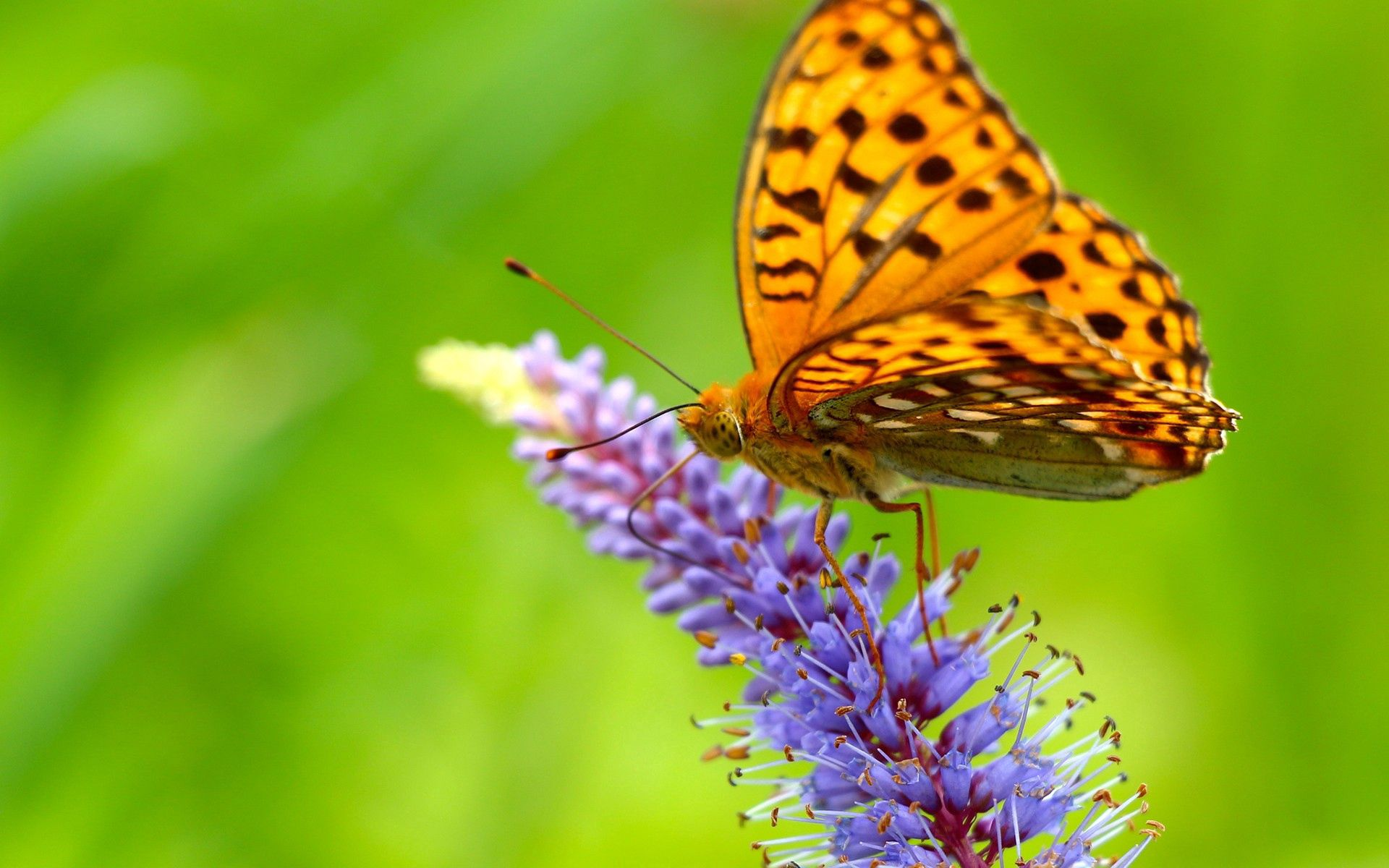86159 Screensavers and Wallpapers Butterfly for phone. Download Grass, Macro, Butterfly, Wings pictures for free