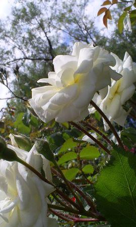 1945 скачать обои Растения, Цветы, Розы - заставки и картинки бесплатно