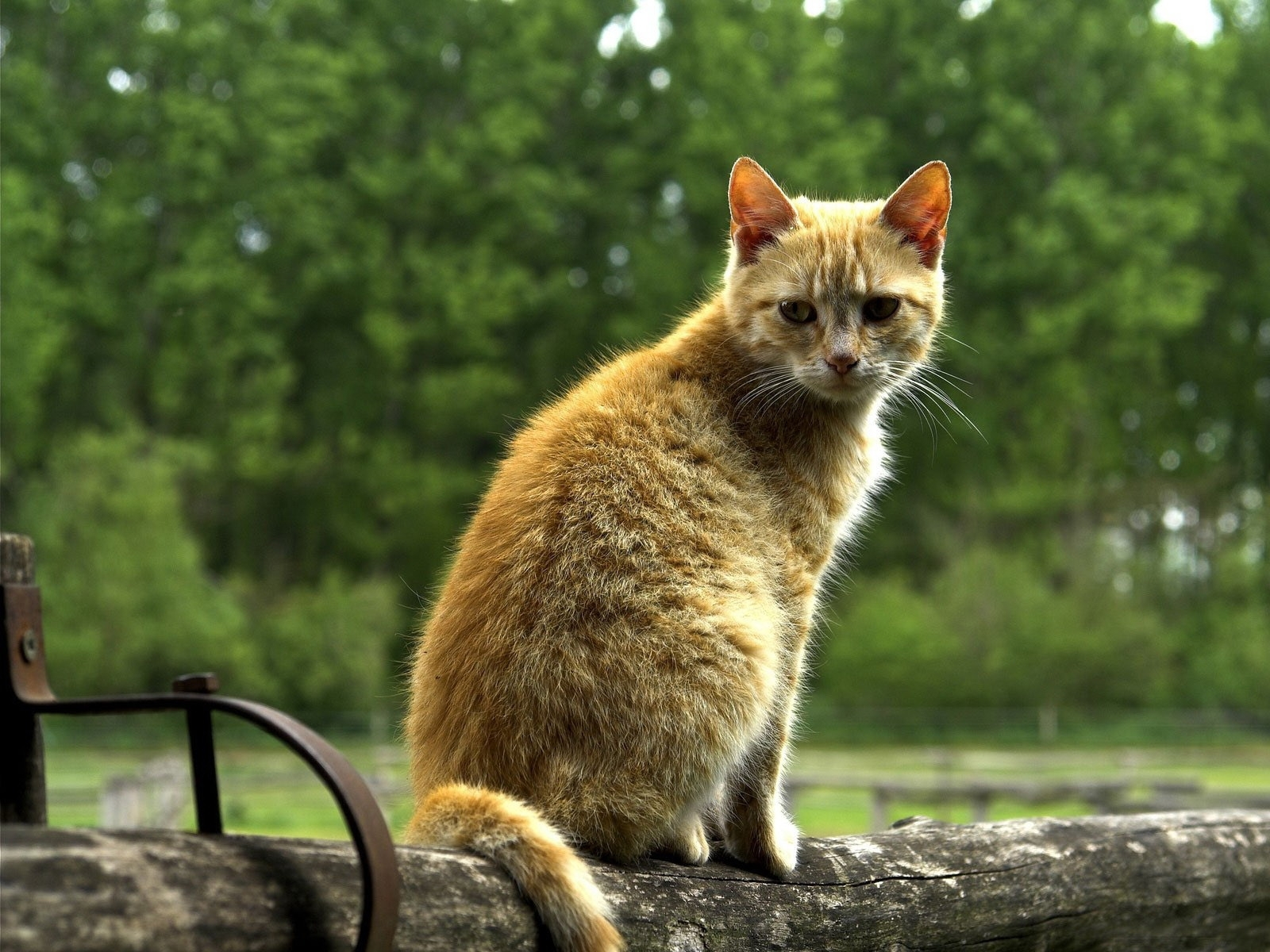 4510 download wallpaper Animals, Cats screensavers and pictures for free