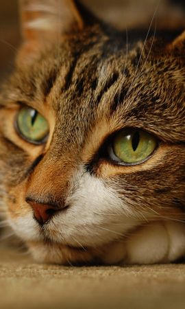 123101 download wallpaper Animals, Cat, Muzzle, Sight, Opinion, To Lie Down, Lie screensavers and pictures for free