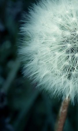 17654 download wallpaper Plants, Flowers, Dandelions screensavers and pictures for free