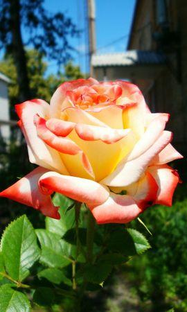7043 скачать обои Растения, Цветы, Розы - заставки и картинки бесплатно
