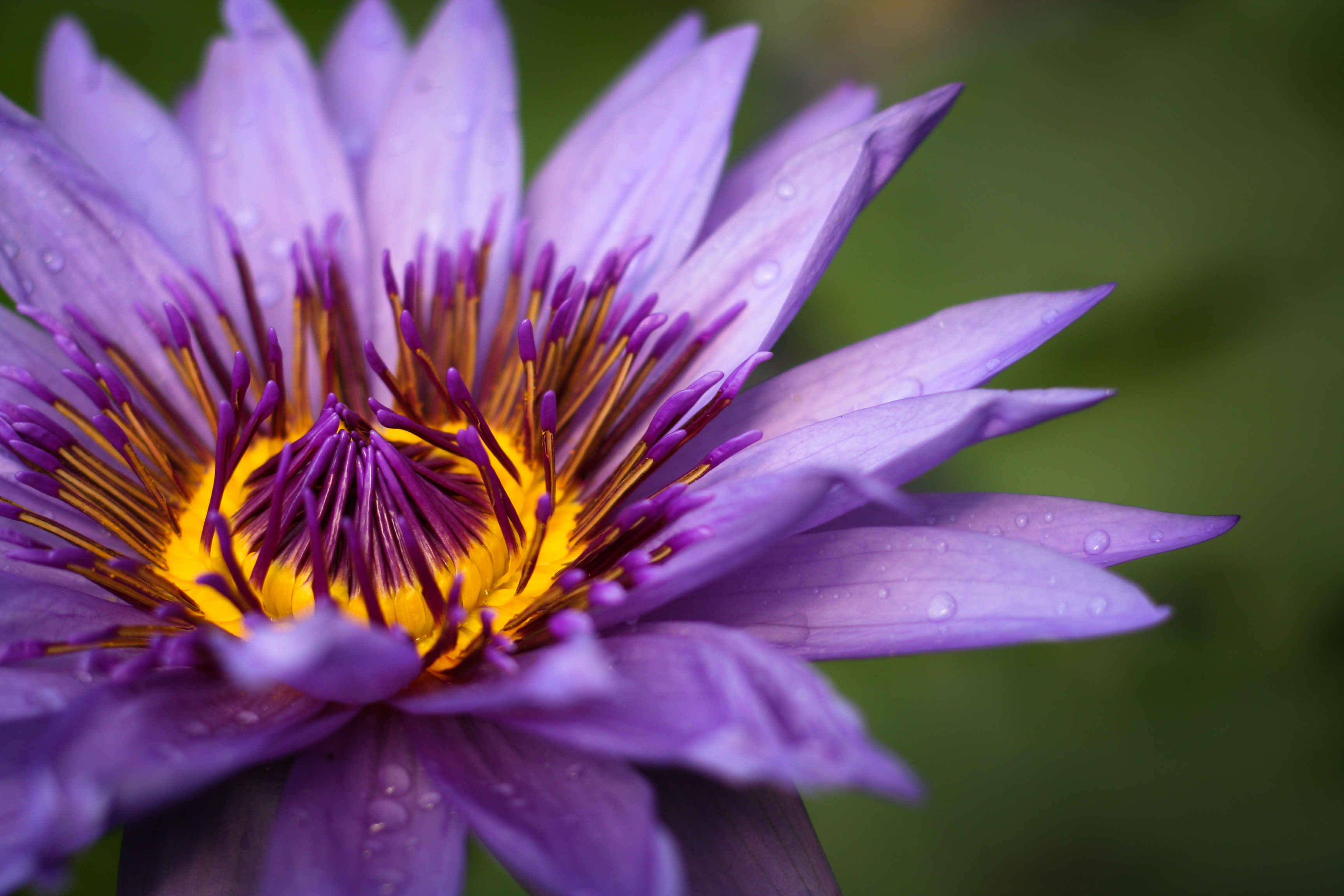 146387 download wallpaper Flowers, Flower, Petals, Macro, Purple, Violet, Drops screensavers and pictures for free
