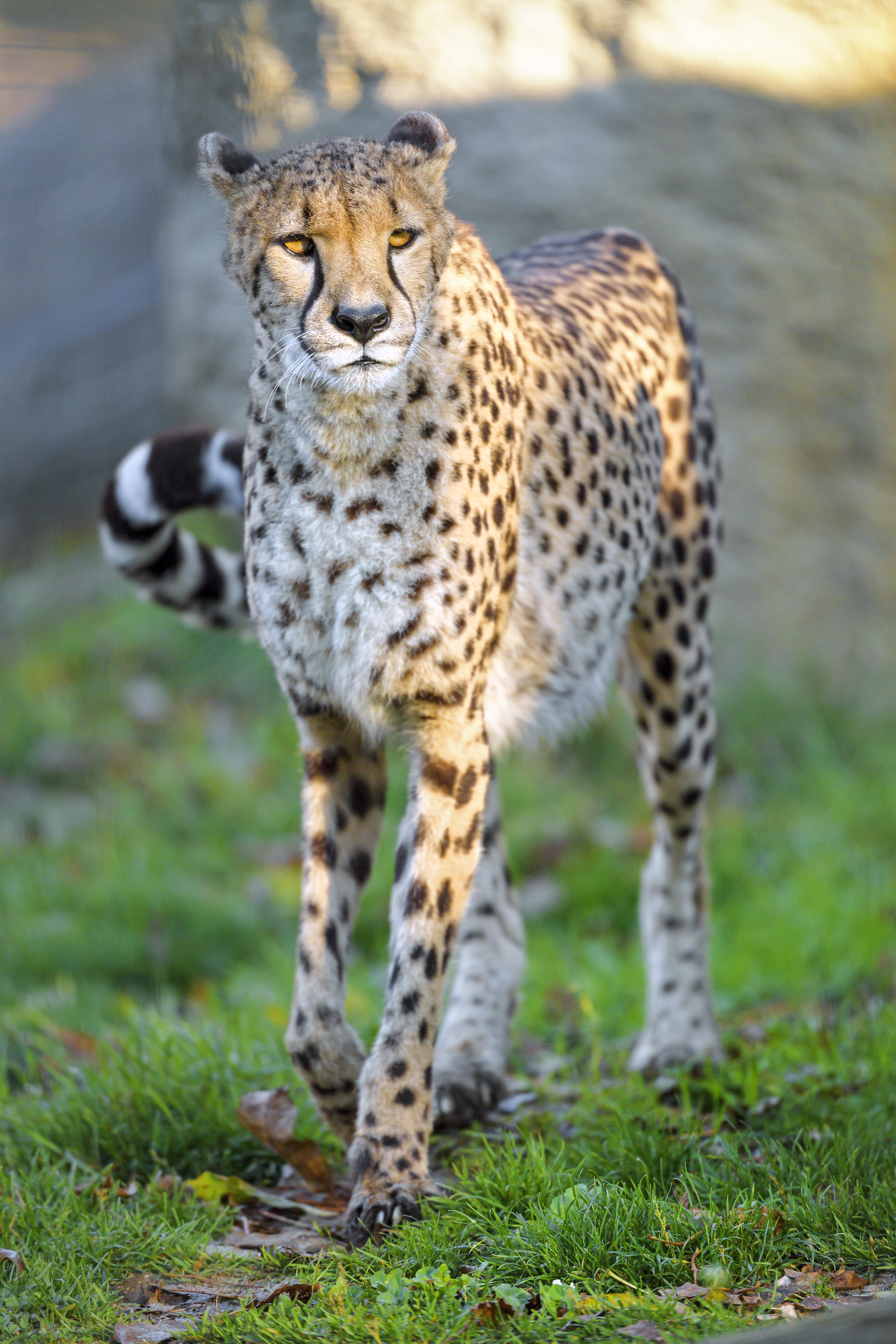 109560 скачать обои Животные, Гепард, Большая Кошка, Хищник, Животное, Дикая Природа - заставки и картинки бесплатно