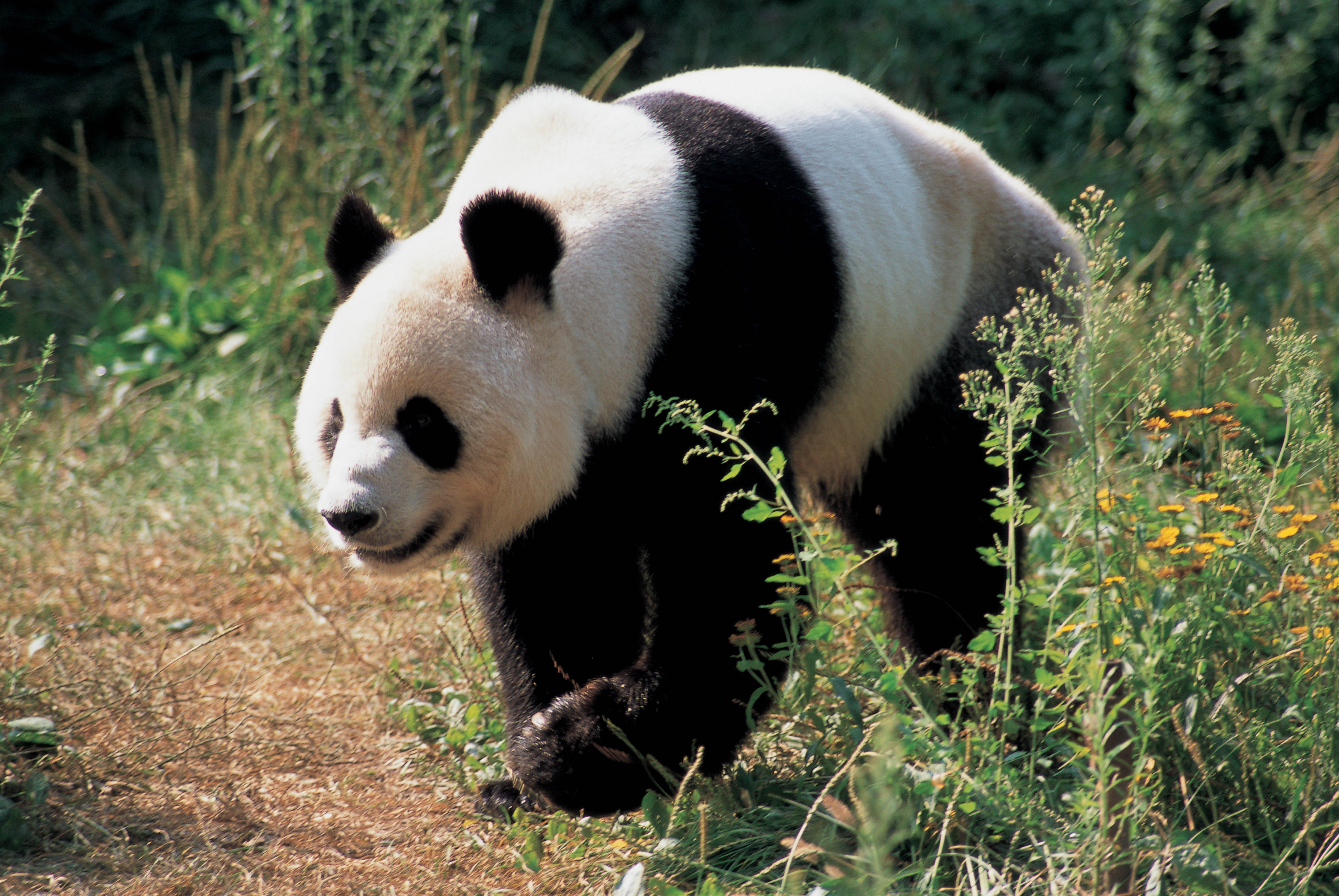 91956 download wallpaper Animals, Panda, Bear, Grass screensavers and pictures for free