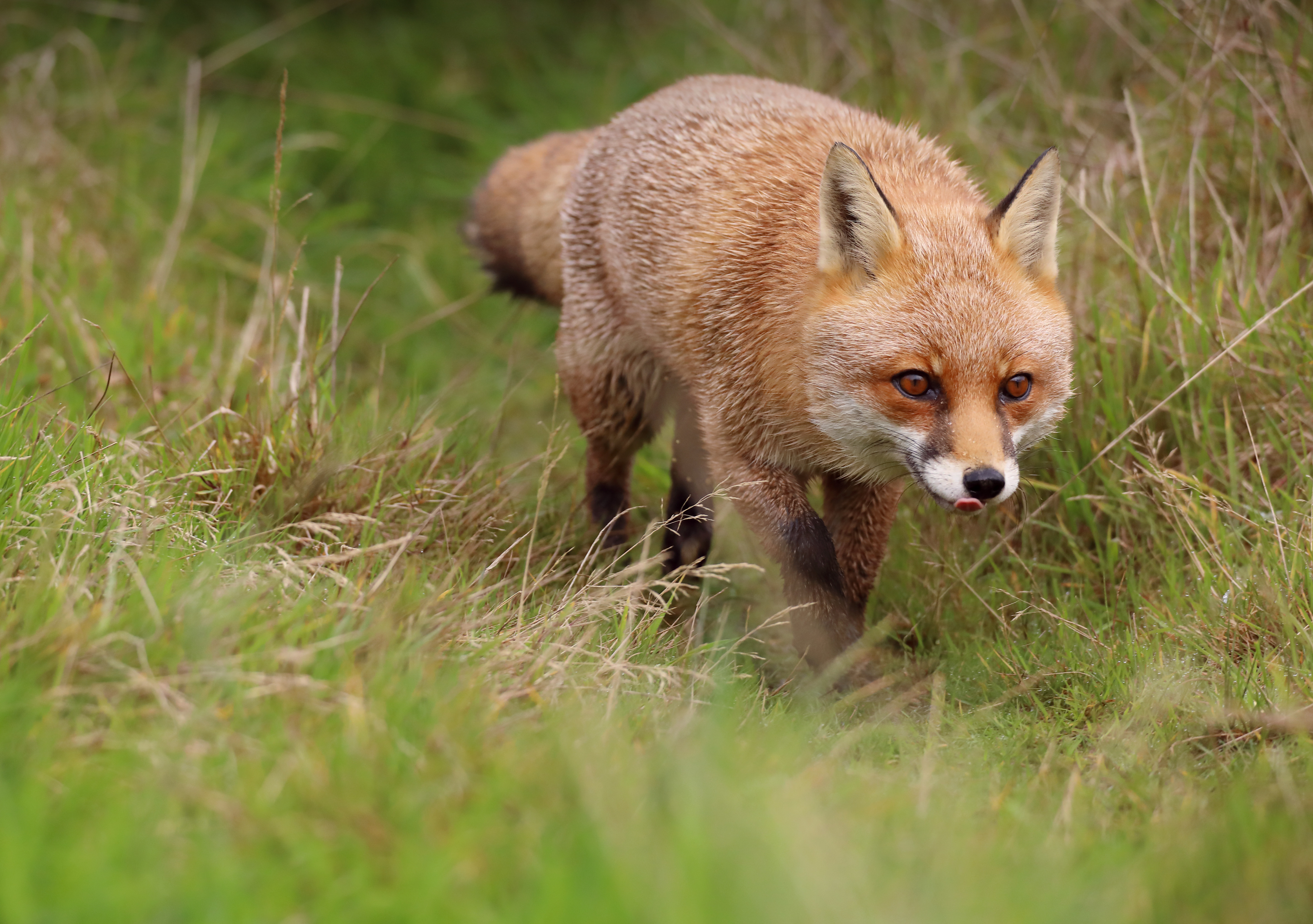 130182 download wallpaper Animals, Fox, Protruding Tongue, Tongue Stuck Out, Redhead, Predator screensavers and pictures for free