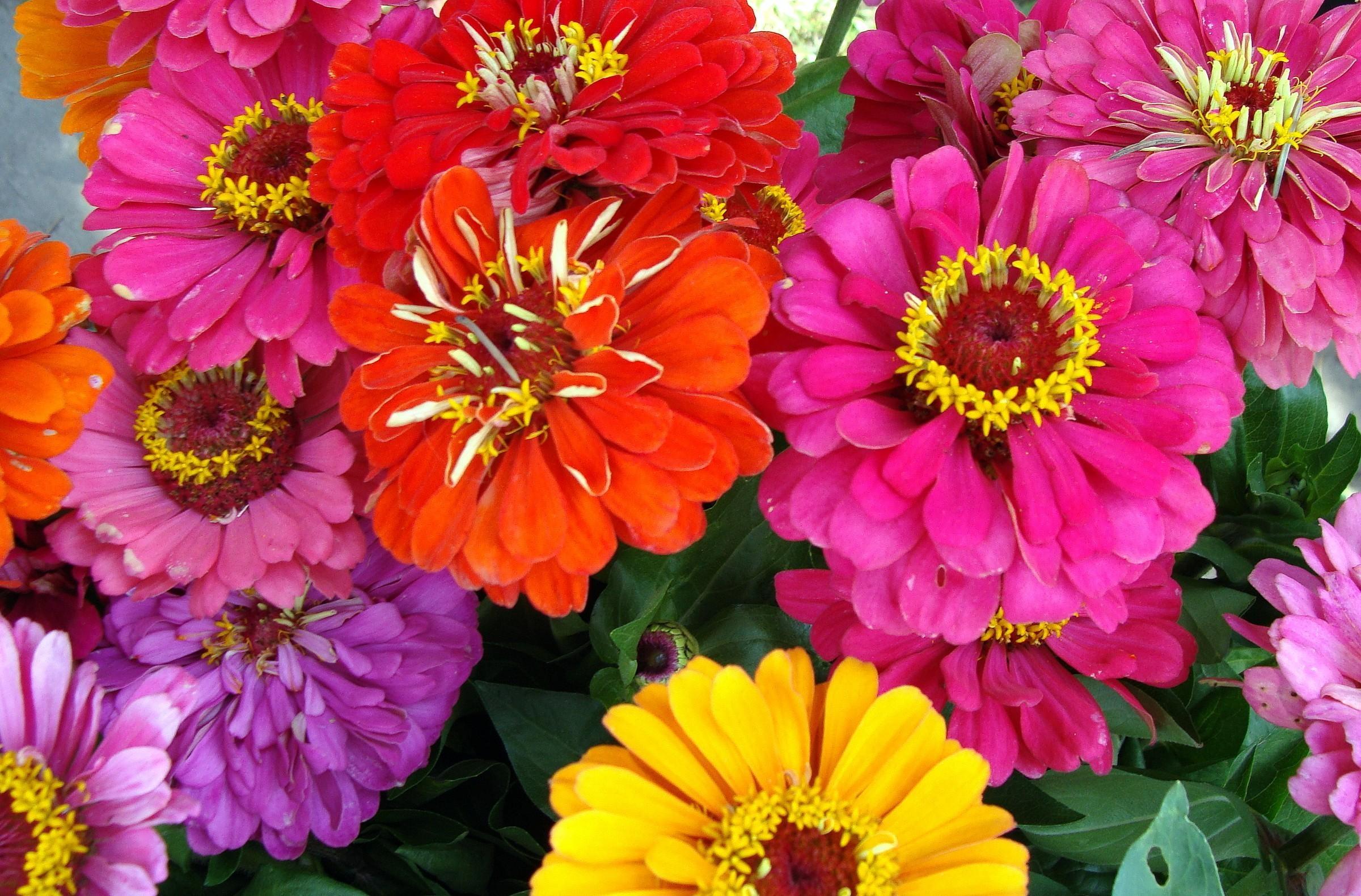 120968 скачать обои Цветы, Яркие, Крупный План, Циннии - заставки и картинки бесплатно