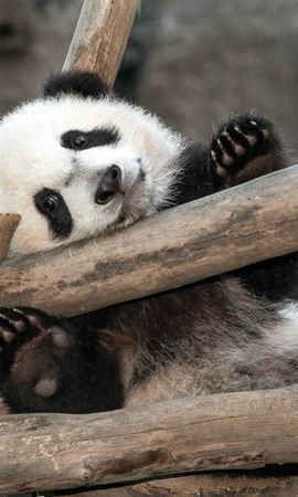 17845 download wallpaper Animals, Pandas screensavers and pictures for free