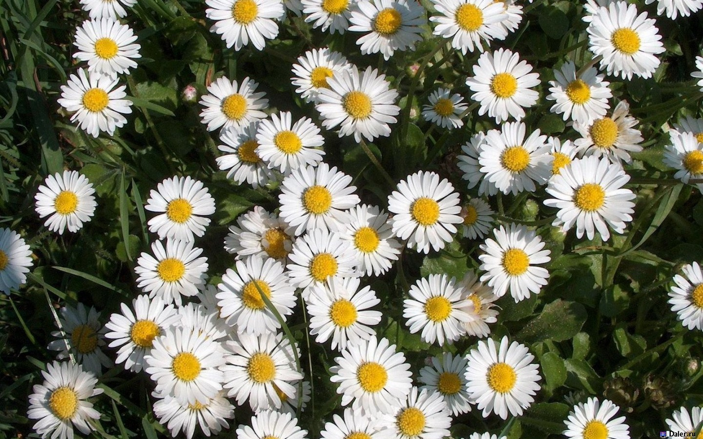 8350 download wallpaper Plants, Flowers, Camomile screensavers and pictures for free