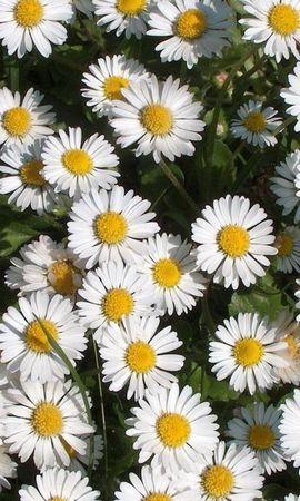 8350 скачать обои Растения, Цветы, Ромашки - заставки и картинки бесплатно