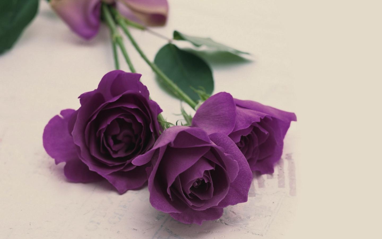 33216 скачать обои Розы, Растения, Цветы - заставки и картинки бесплатно