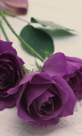 33216 descargar fondo de pantalla Plantas, Flores, Roses: protectores de pantalla e imágenes gratis