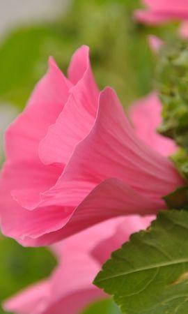 3617 скачать обои Растения, Цветы, Вьюнок - заставки и картинки бесплатно