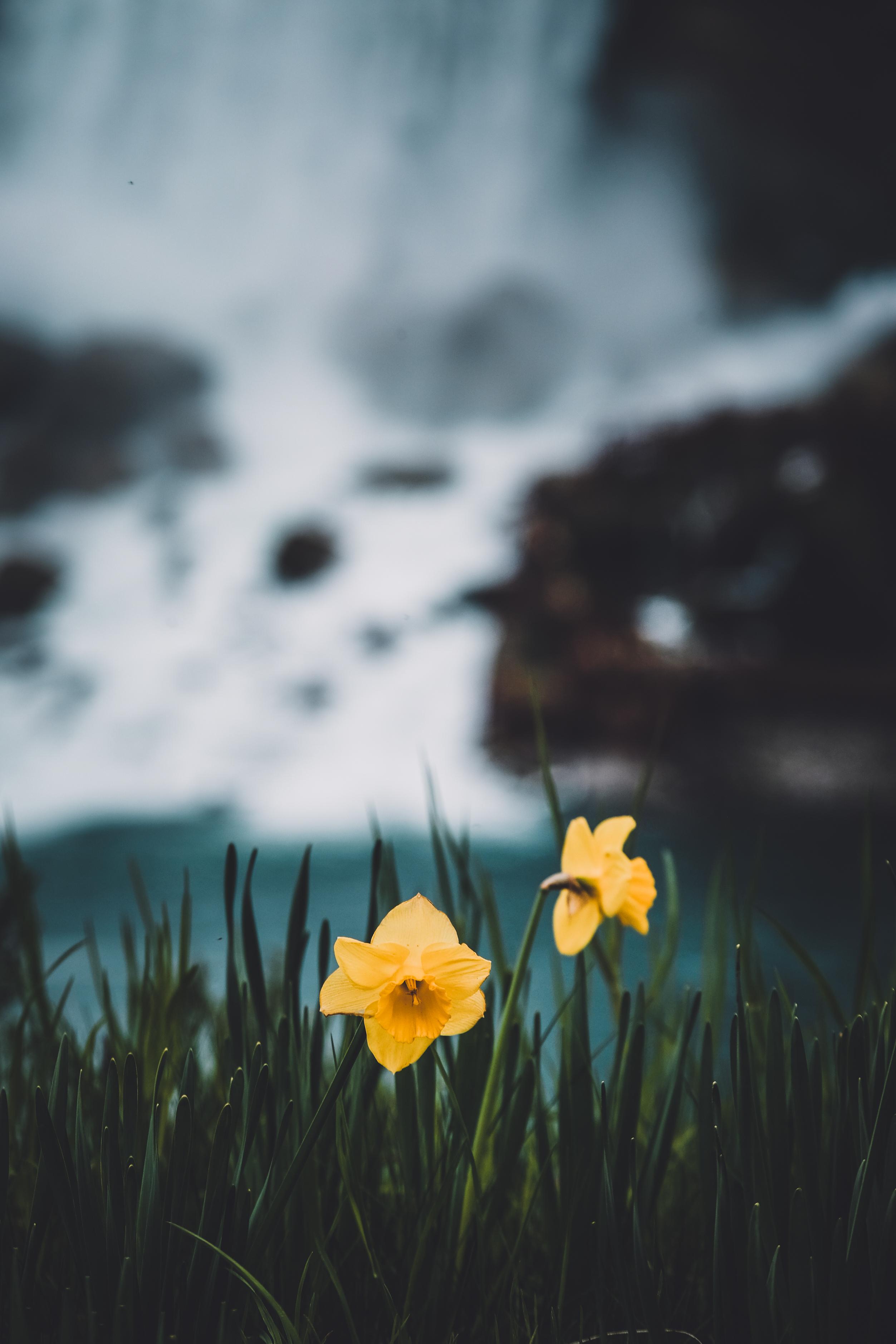 74501 Заставки и Обои Нарциссы на телефон. Скачать Цветы, Трава, Нарциссы, Размытость картинки бесплатно