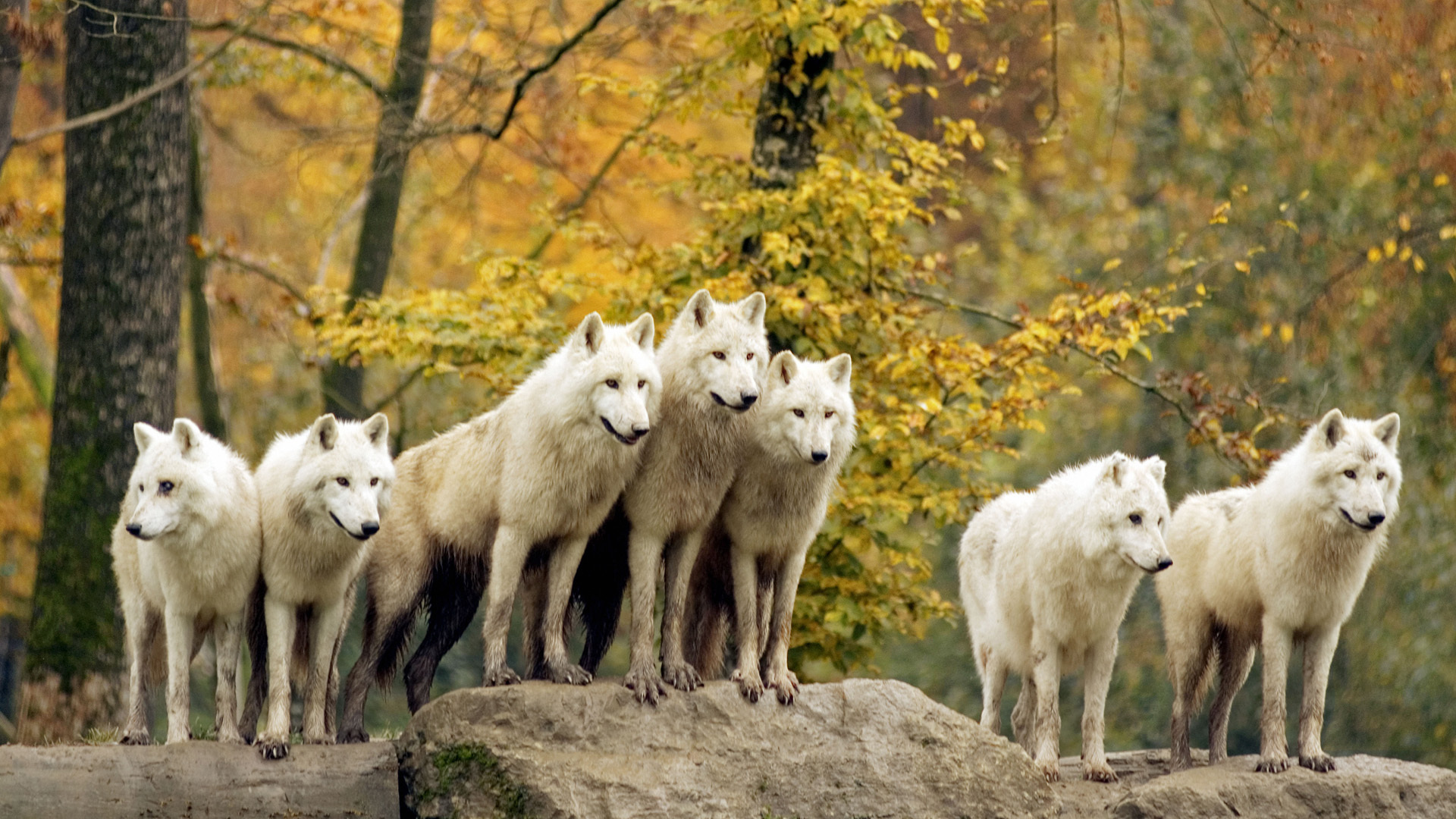 22527 download wallpaper Animals, Wolfs screensavers and pictures for free