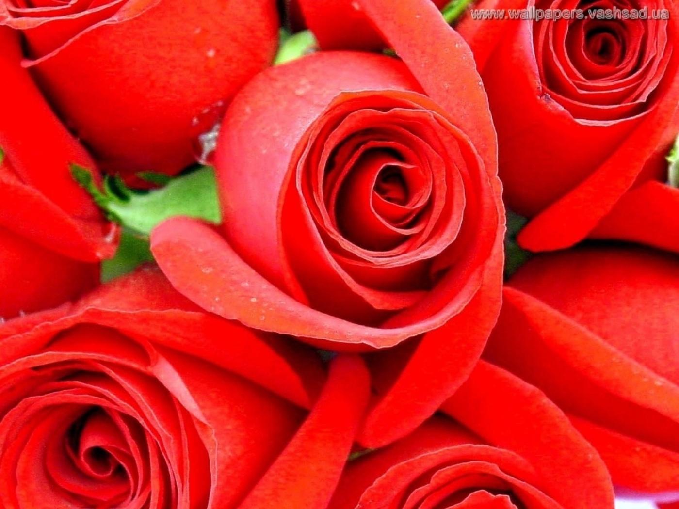 23294 télécharger le fond d'écran Plantes, Fleurs, Roses - économiseurs d'écran et images gratuitement