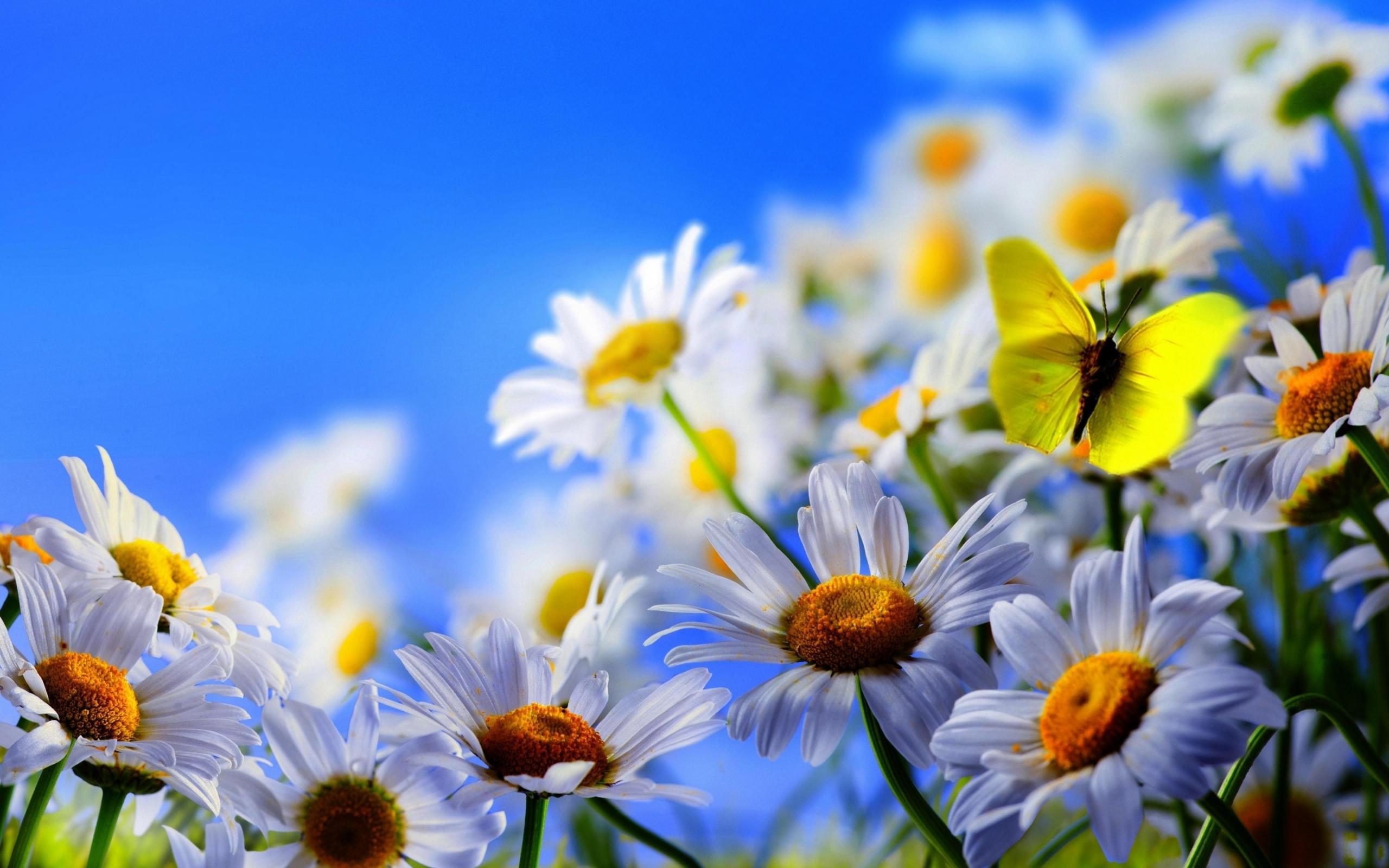 25178 скачать обои Ромашки, Растения, Бабочки, Цветы, Насекомые - заставки и картинки бесплатно