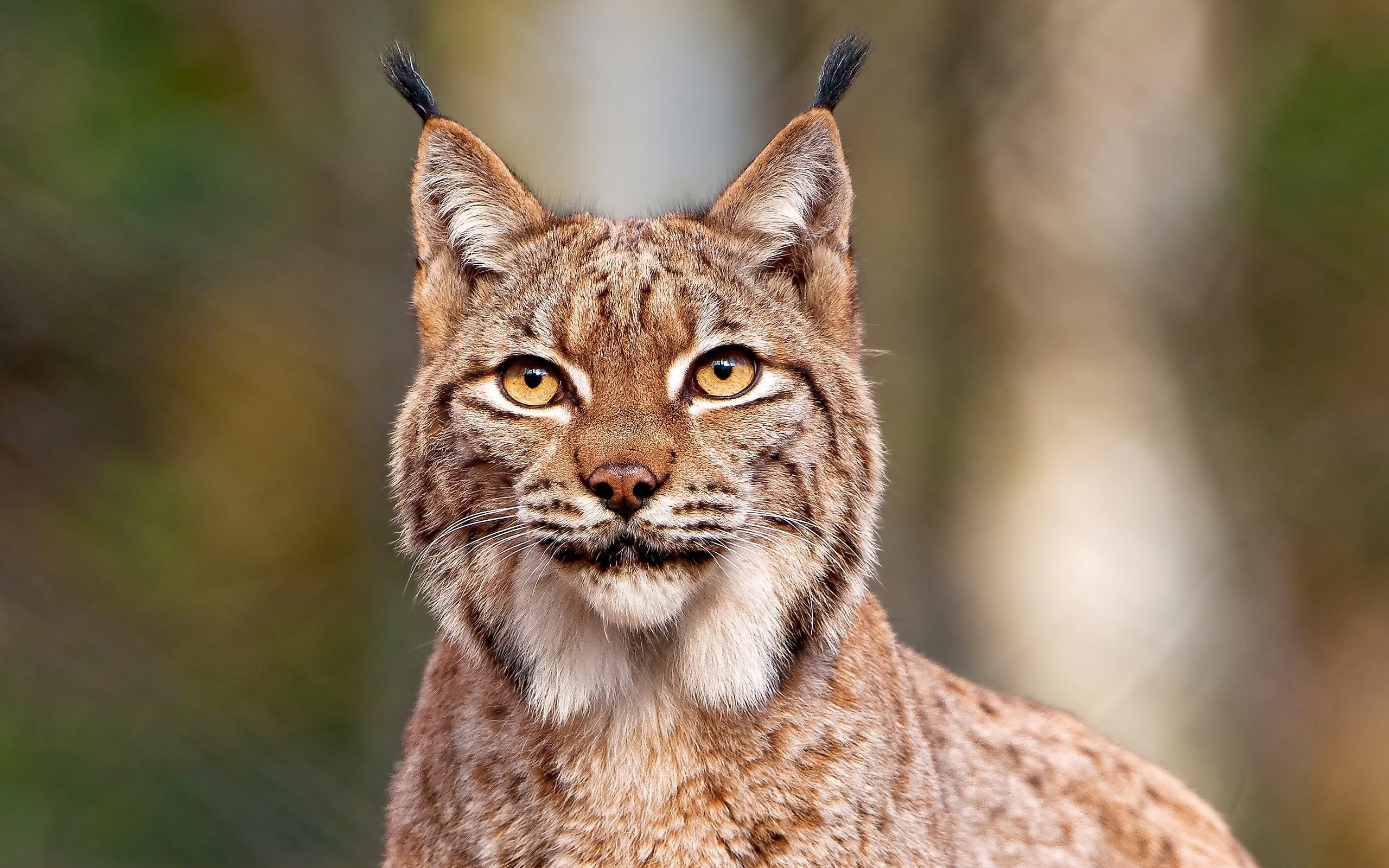 24202 download wallpaper Animals, Bobcats screensavers and pictures for free