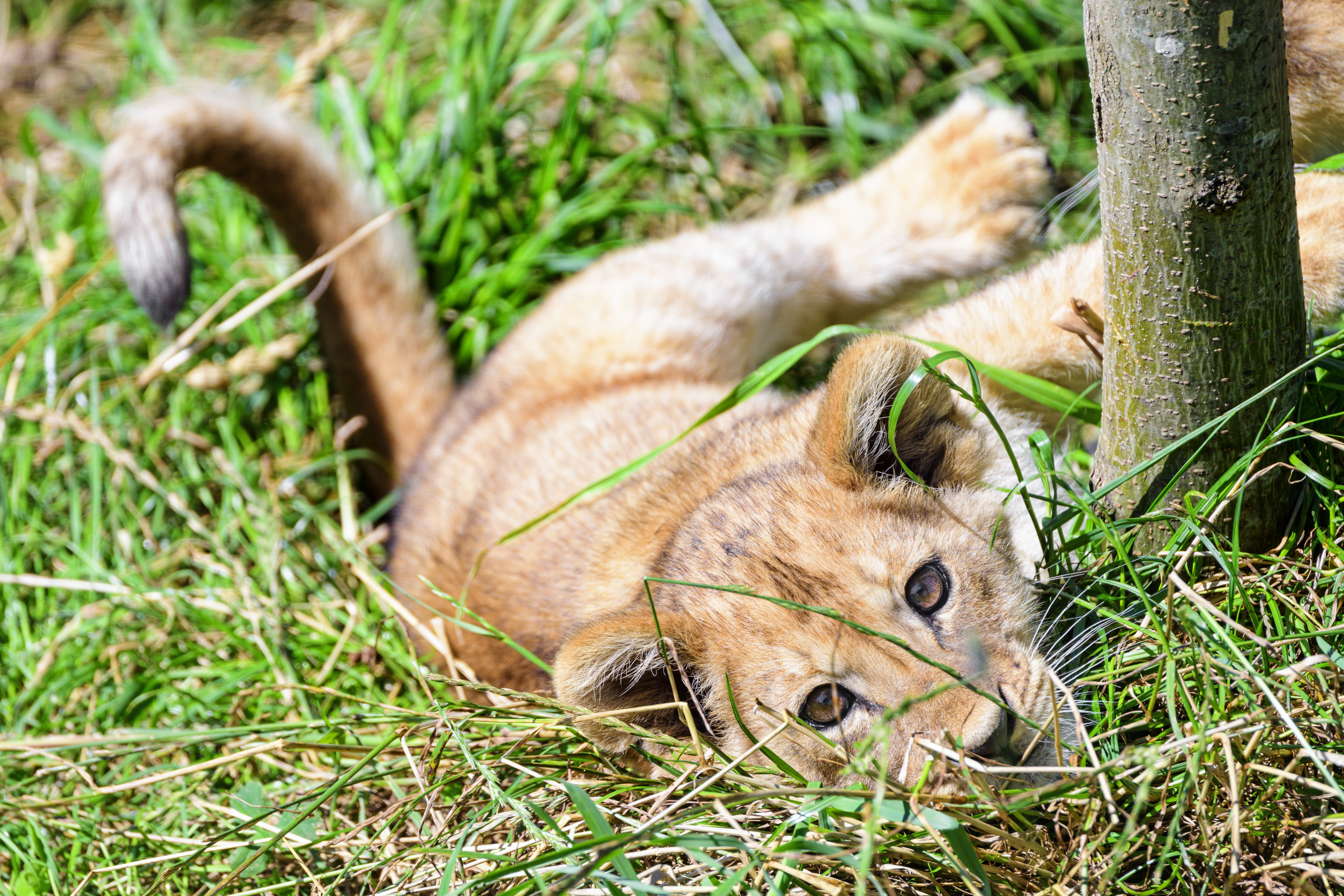 122548 download wallpaper Animals, Lion Cub, Lion, Young, Joey, Nice, Sweetheart, Grass screensavers and pictures for free