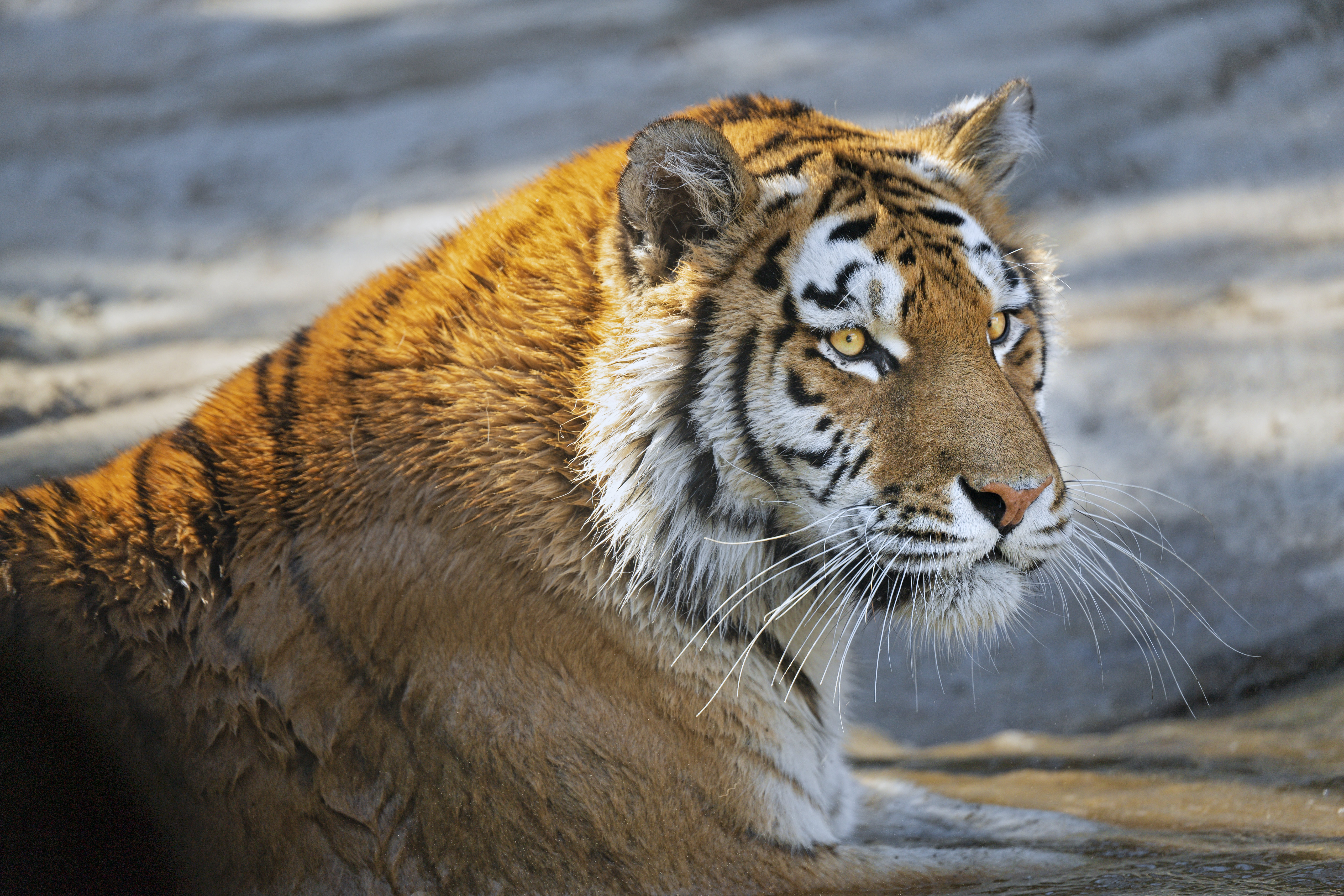 96756 download wallpaper Animals, Tiger, Predator, Sight, Opinion, Big Cat, Muzzle screensavers and pictures for free