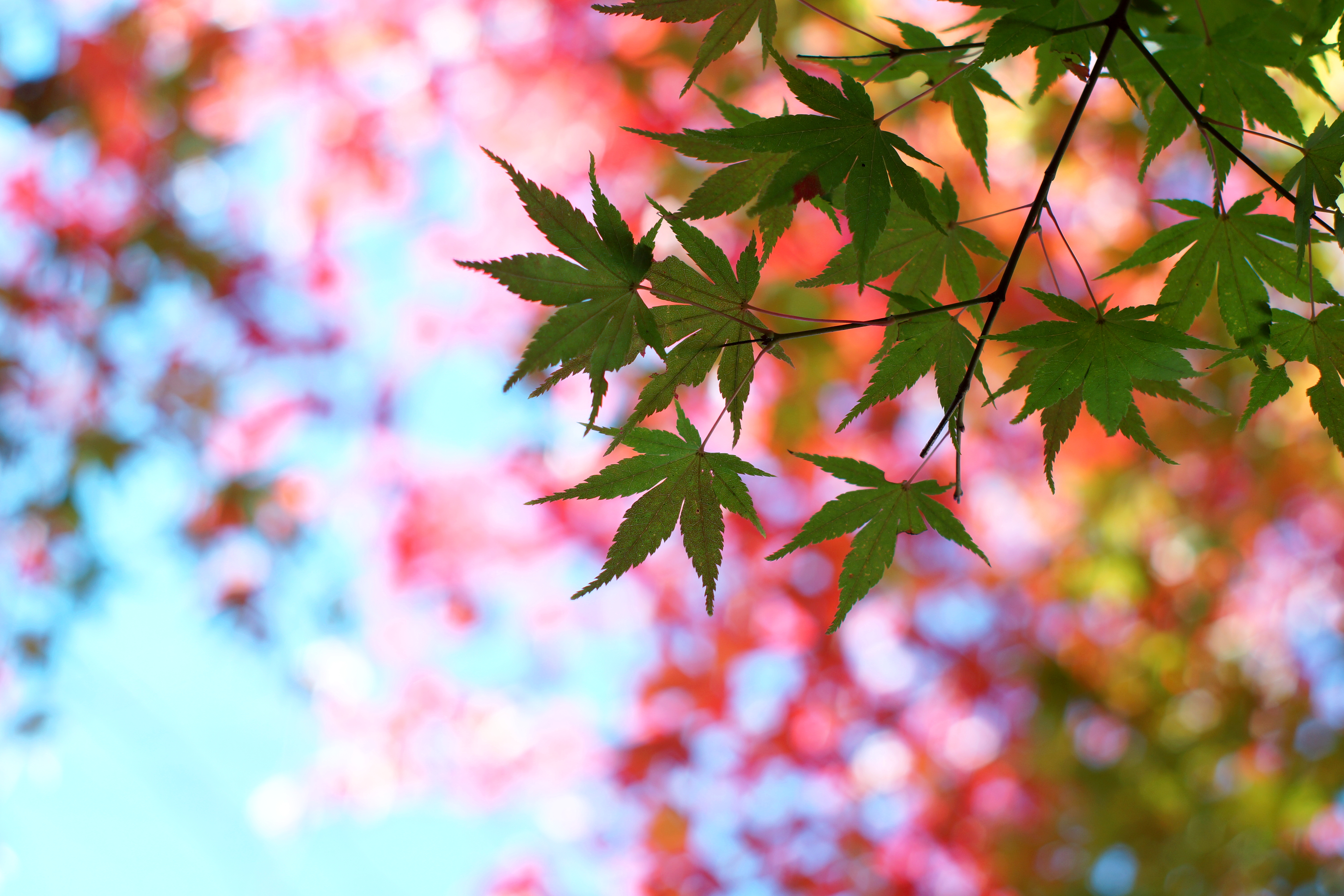 114854 download wallpaper Nature, Leaves, Maple, Glare, Branch, Wood, Tree, Summer screensavers and pictures for free