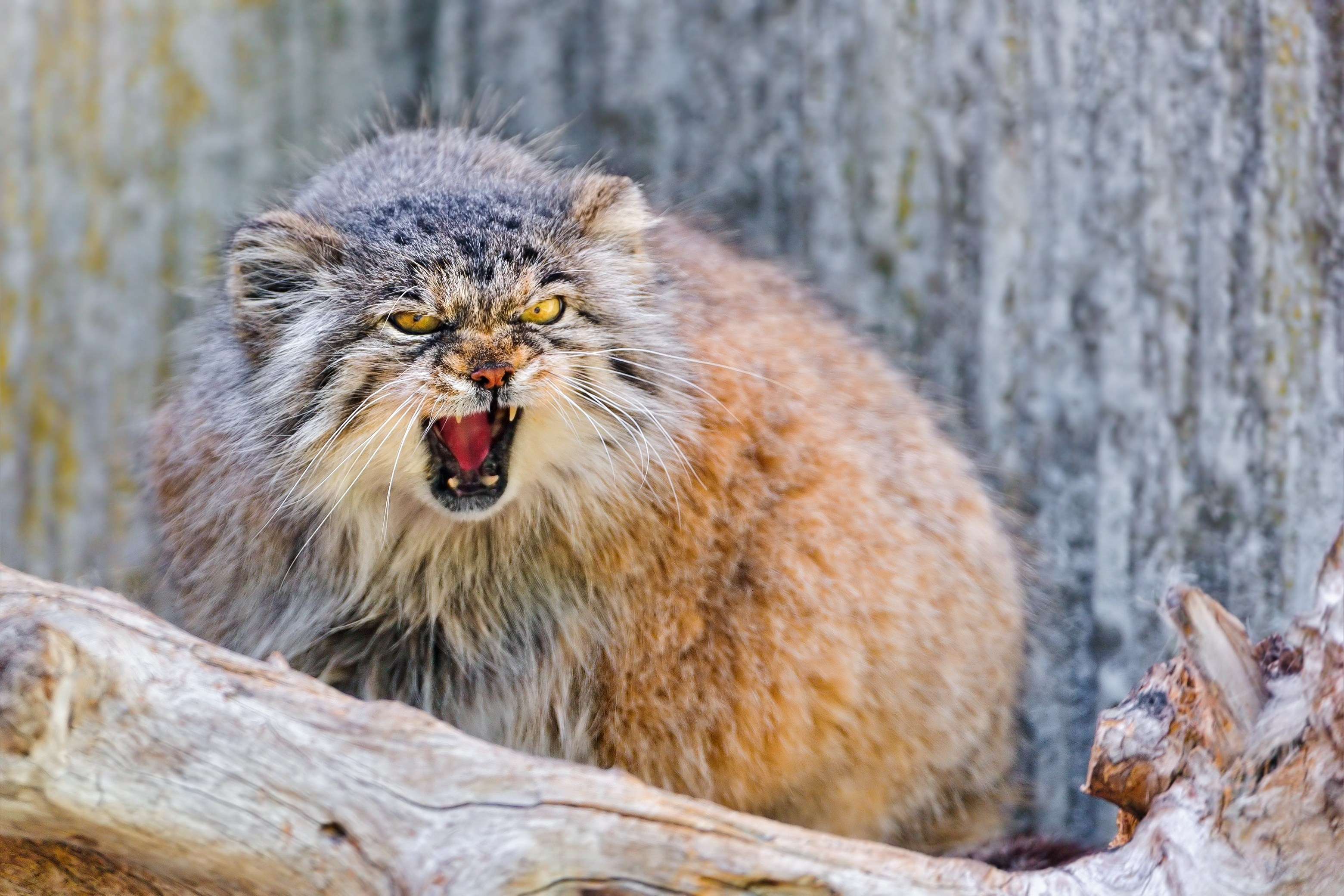71345 download wallpaper Muzzle, Animals, Cat, Aggression, Pallas' Cat, Manul screensavers and pictures for free