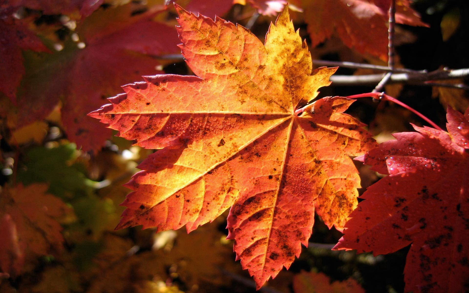 69711 download wallpaper Macro, Sheet, Leaf, Maple, Autumn, Dry screensavers and pictures for free