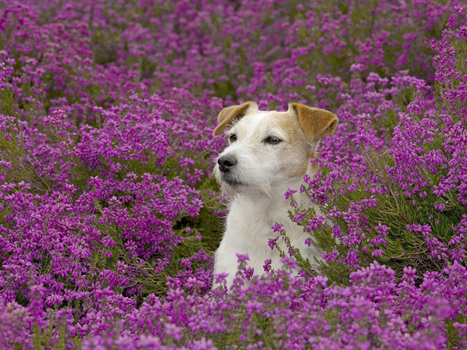 3887 скачать обои Животные, Цветы, Собаки - заставки и картинки бесплатно
