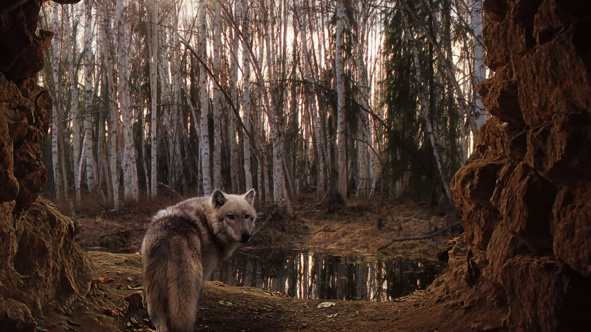 28433 download wallpaper Animals, Wolfs screensavers and pictures for free