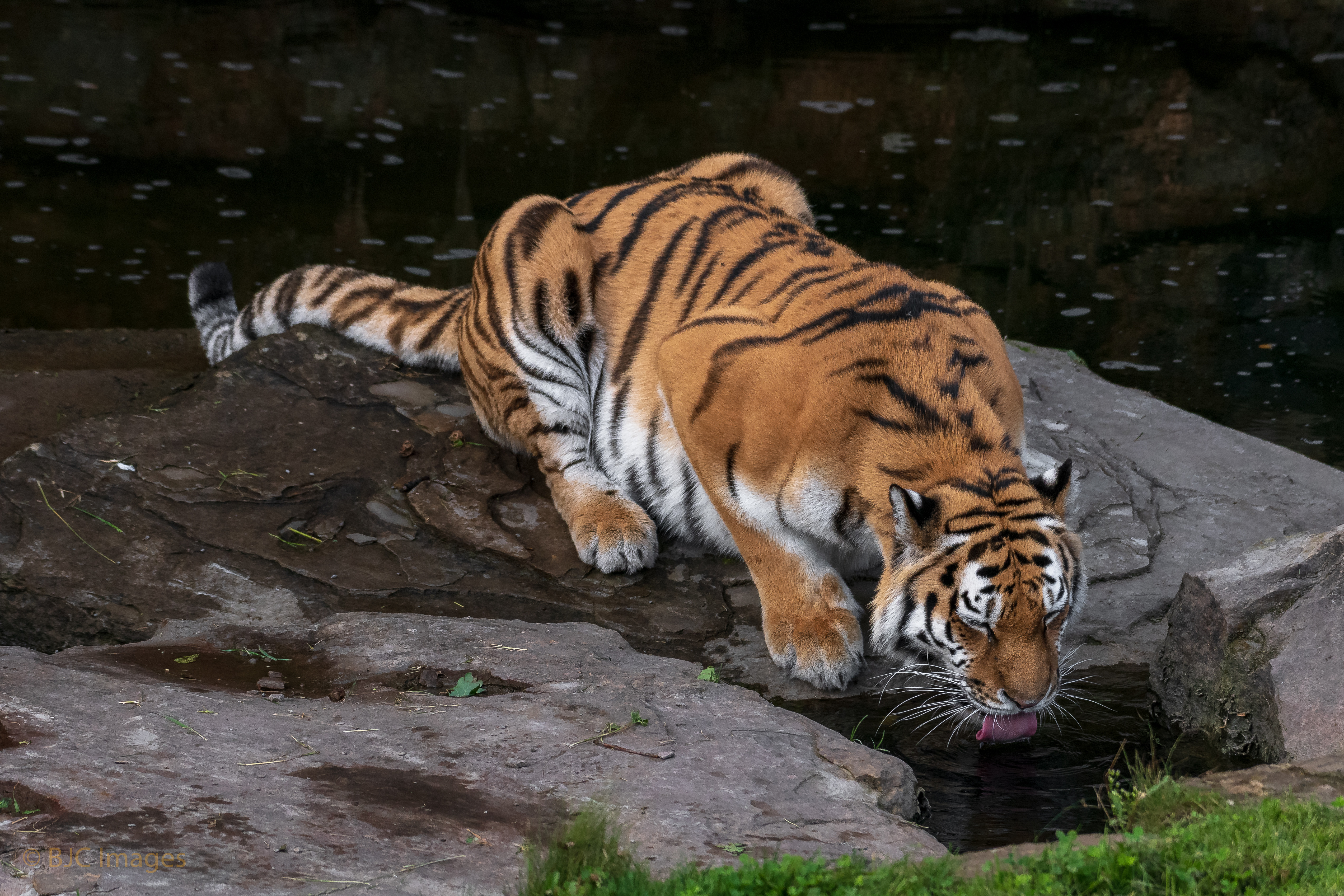 96630 download wallpaper Animals, Tiger, Protruding Tongue, Tongue Stuck Out, Big Cat screensavers and pictures for free