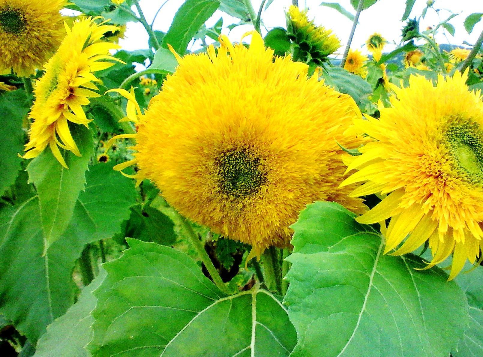 73912 скачать обои Цветы, Лето, Яркие, Желтый, Зеленый, Подсолнухи - заставки и картинки бесплатно