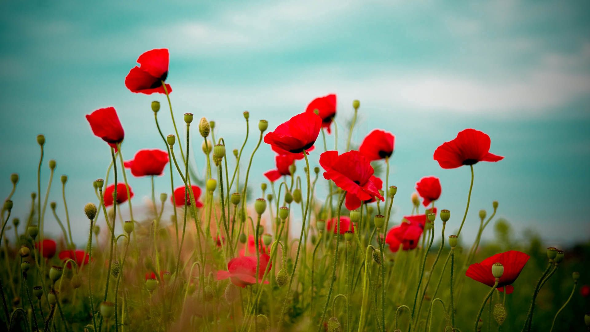 107295 Screensavers and Wallpapers Poppies for phone. Download Flowers, Grass, Poppies, Bloom, Flowering, Field pictures for free