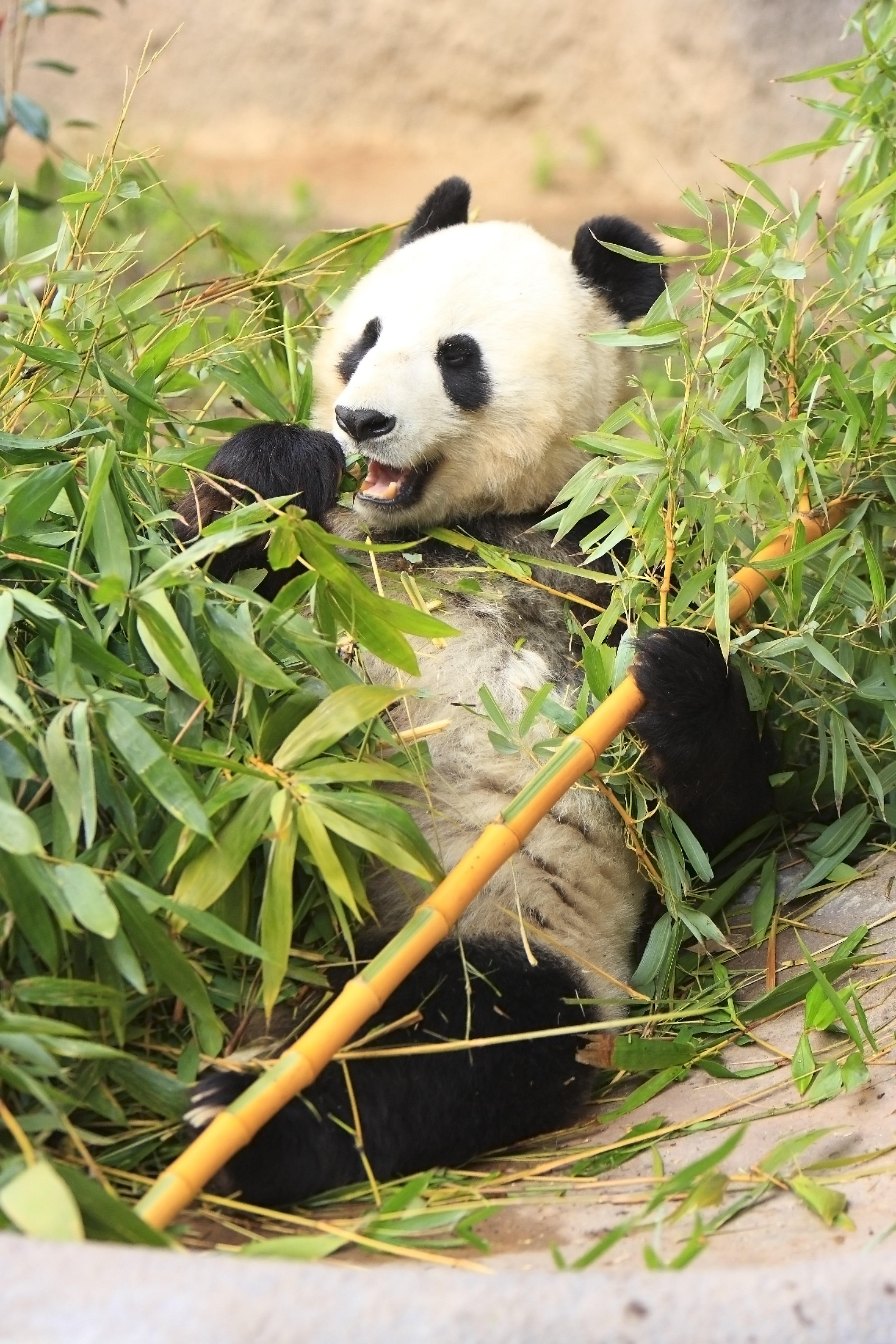 93296 download wallpaper Animals, Panda, Funny, Bamboo, Leaves screensavers and pictures for free