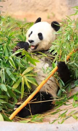 93296 Screensavers and Wallpapers Funny for phone. Download Animals, Panda, Funny, Bamboo, Leaves pictures for free