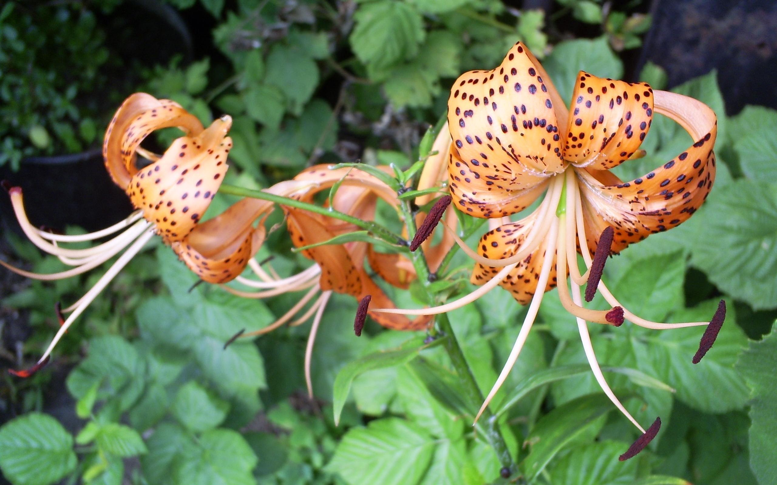 3665 скачать обои Растения, Цветы, Лилии - заставки и картинки бесплатно