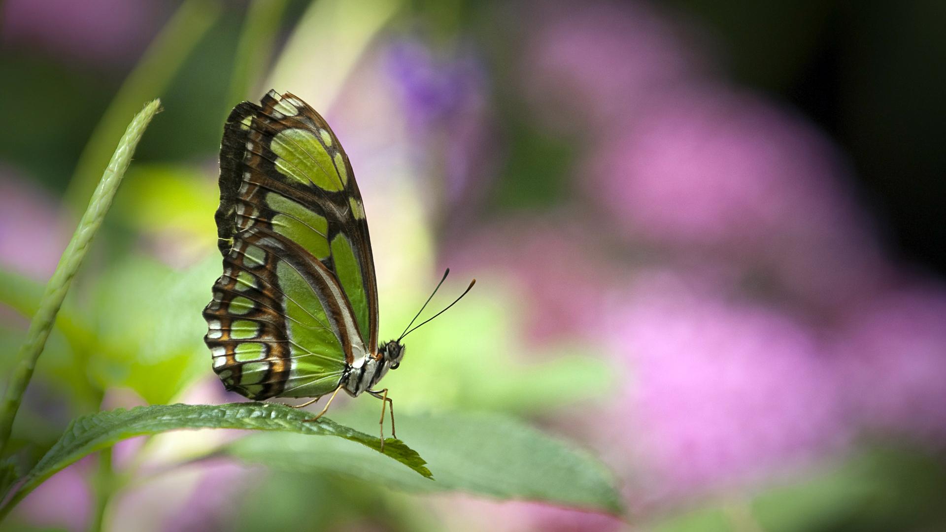 19031 скачать обои Бабочки, Насекомые - заставки и картинки бесплатно
