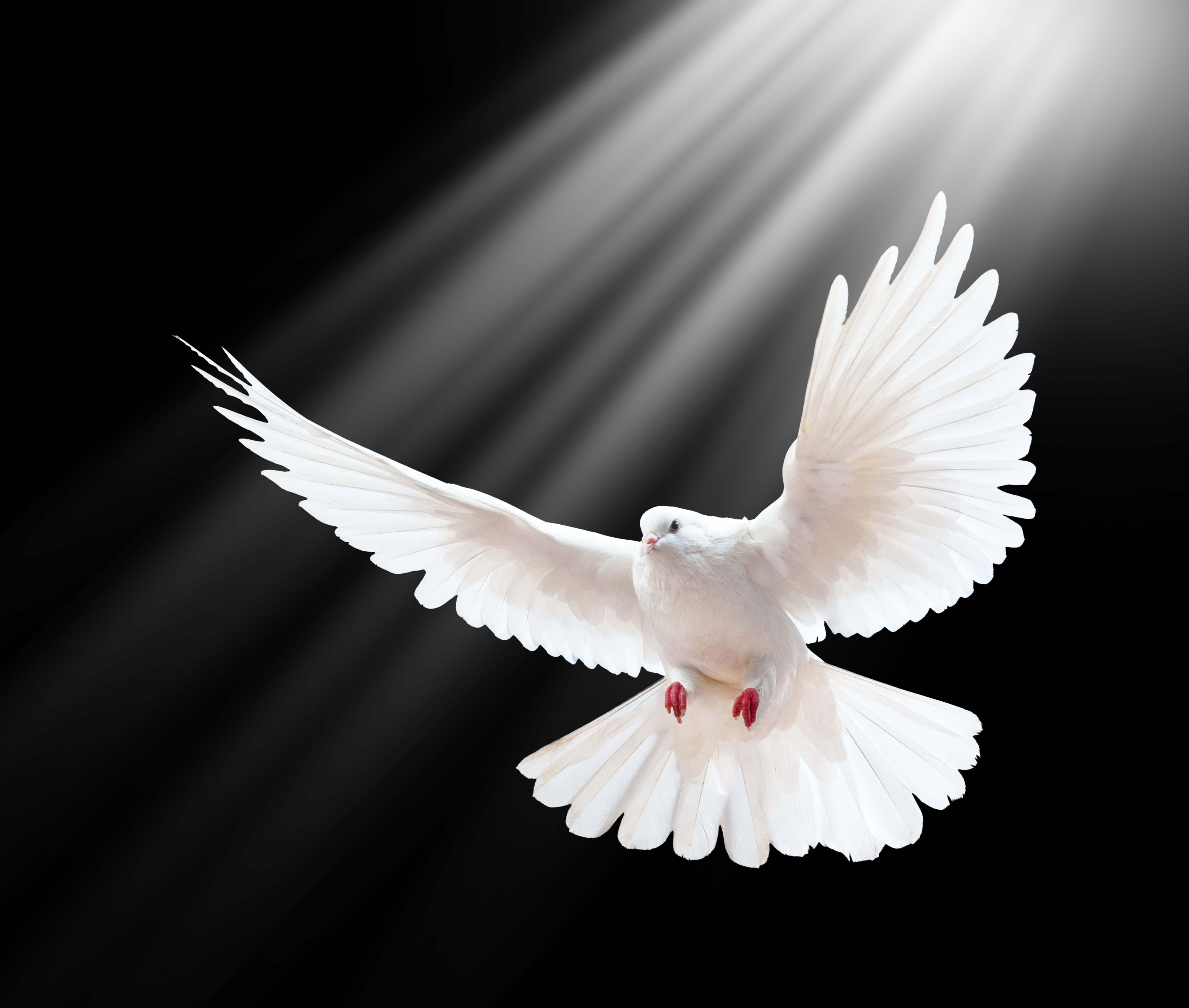 118938 download wallpaper Animals, Dove, Swing, Wings, Shine, Light, Black Background, Freedom screensavers and pictures for free