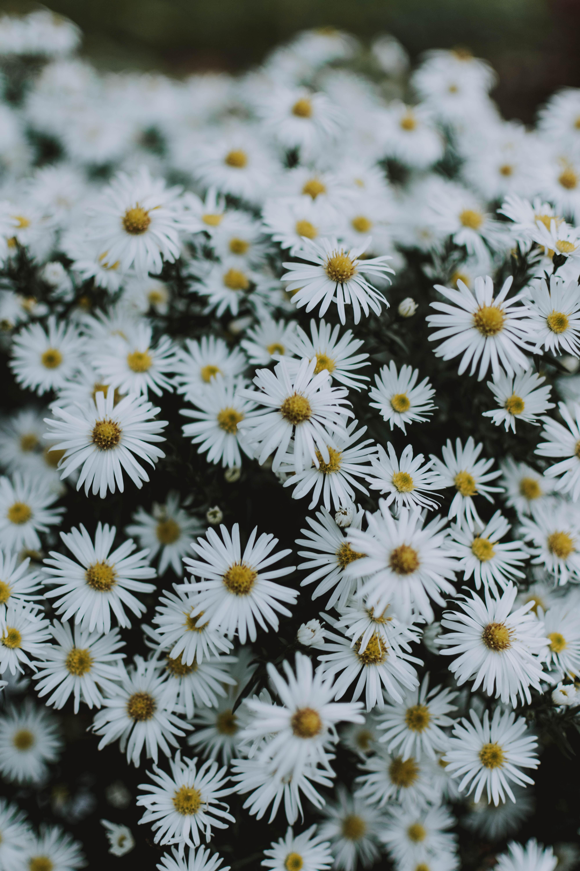 114162 скачать обои Макро, Ромашки, Белый, Цветение, Цветы - заставки и картинки бесплатно