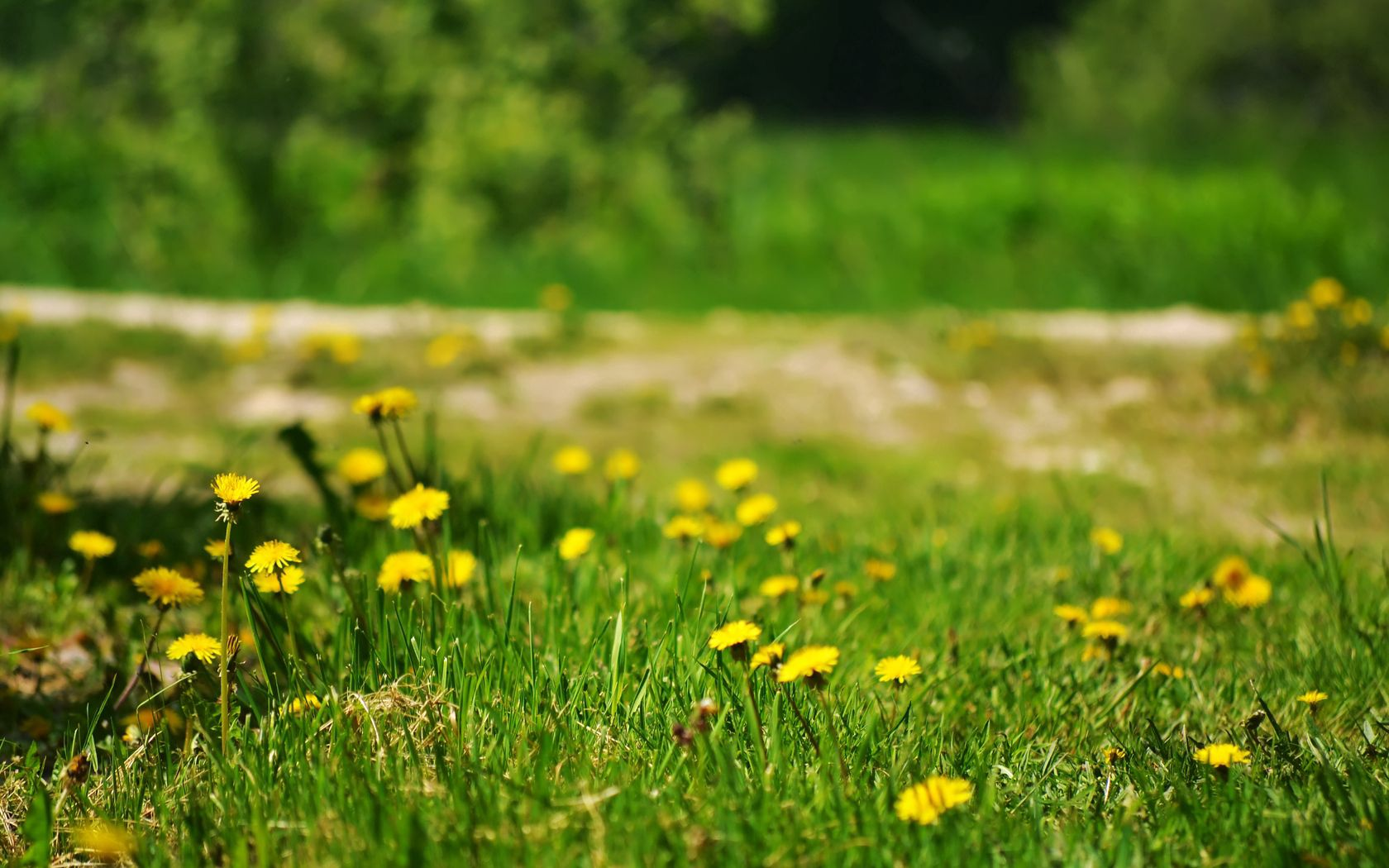 121096 Screensavers and Wallpapers Dandelions for phone. Download Nature, Grass, Dandelions, Polyana, Glade pictures for free