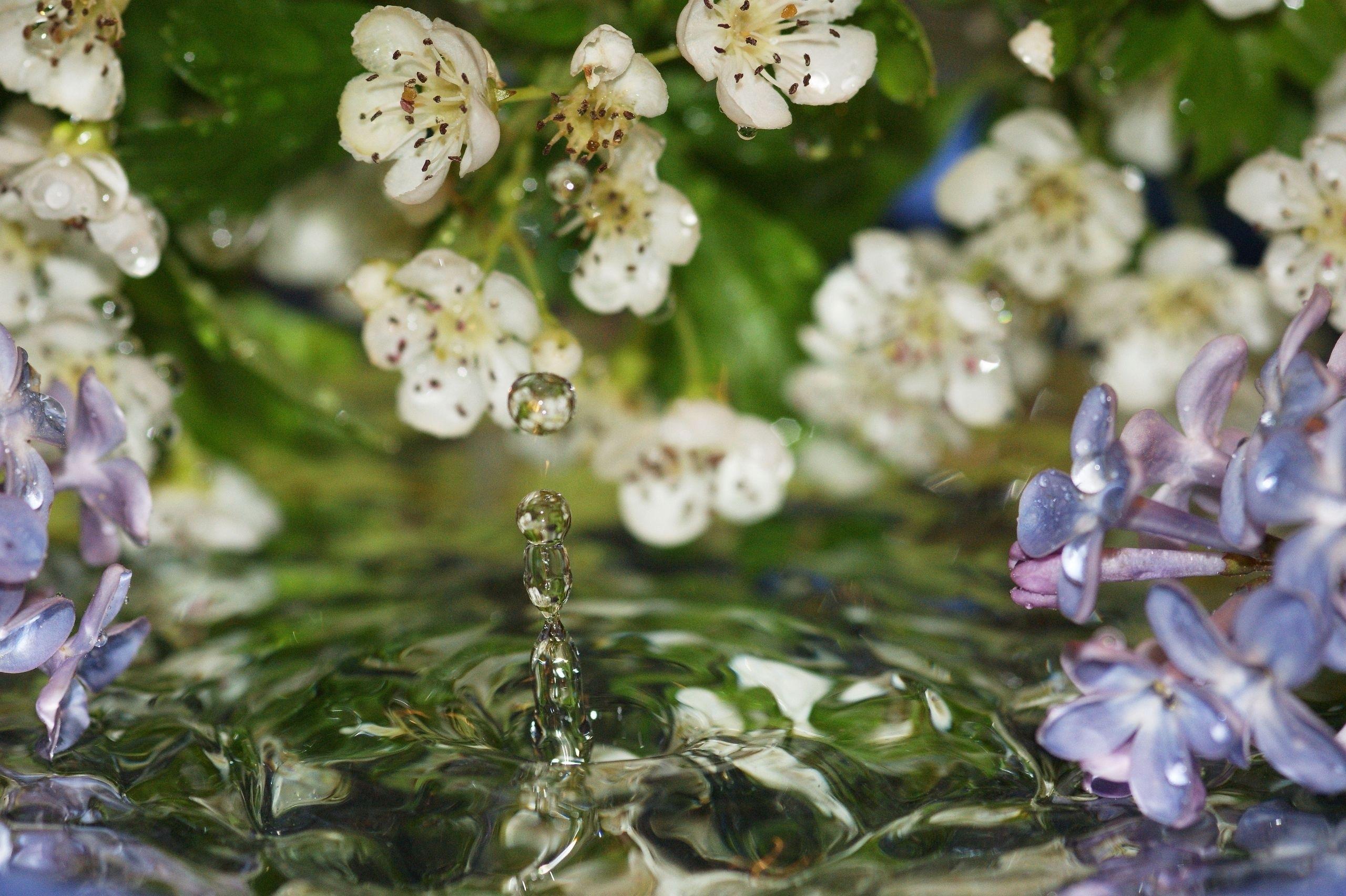 106184 Hintergrundbild herunterladen Blumen, Wasser, Lilac, Drops, Makro - Bildschirmschoner und Bilder kostenlos