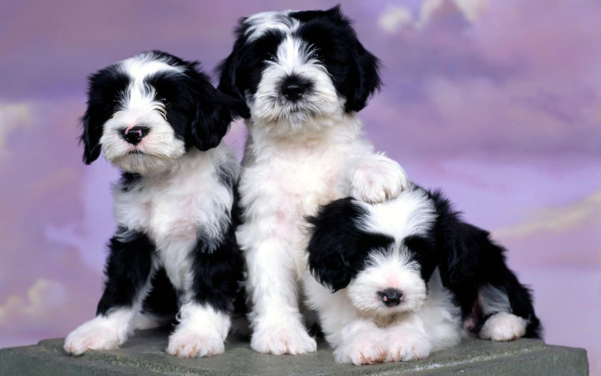 66920 download wallpaper Animals, Spotted, Three, Puppies screensavers and pictures for free